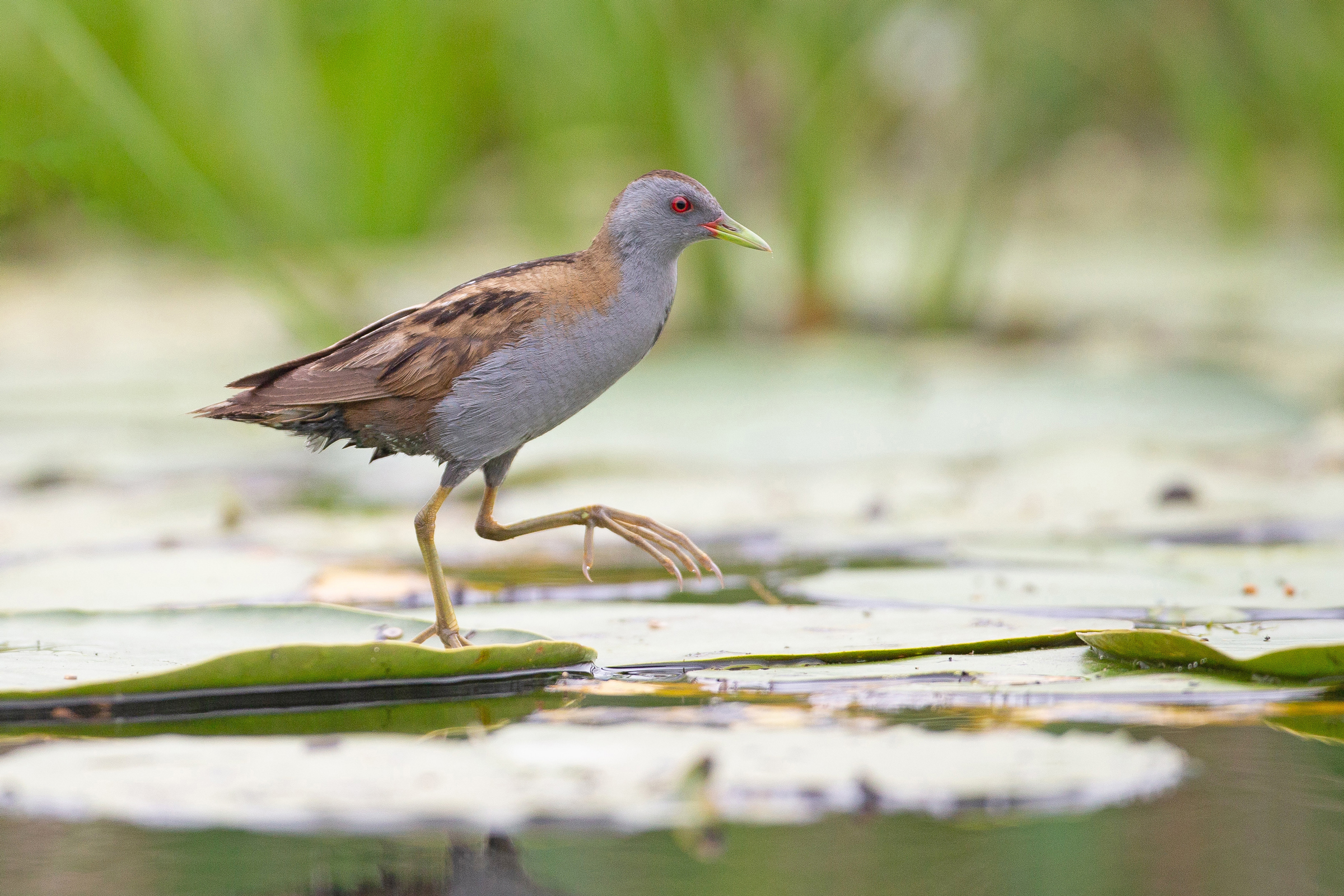 Little Crake skipping across lily pads