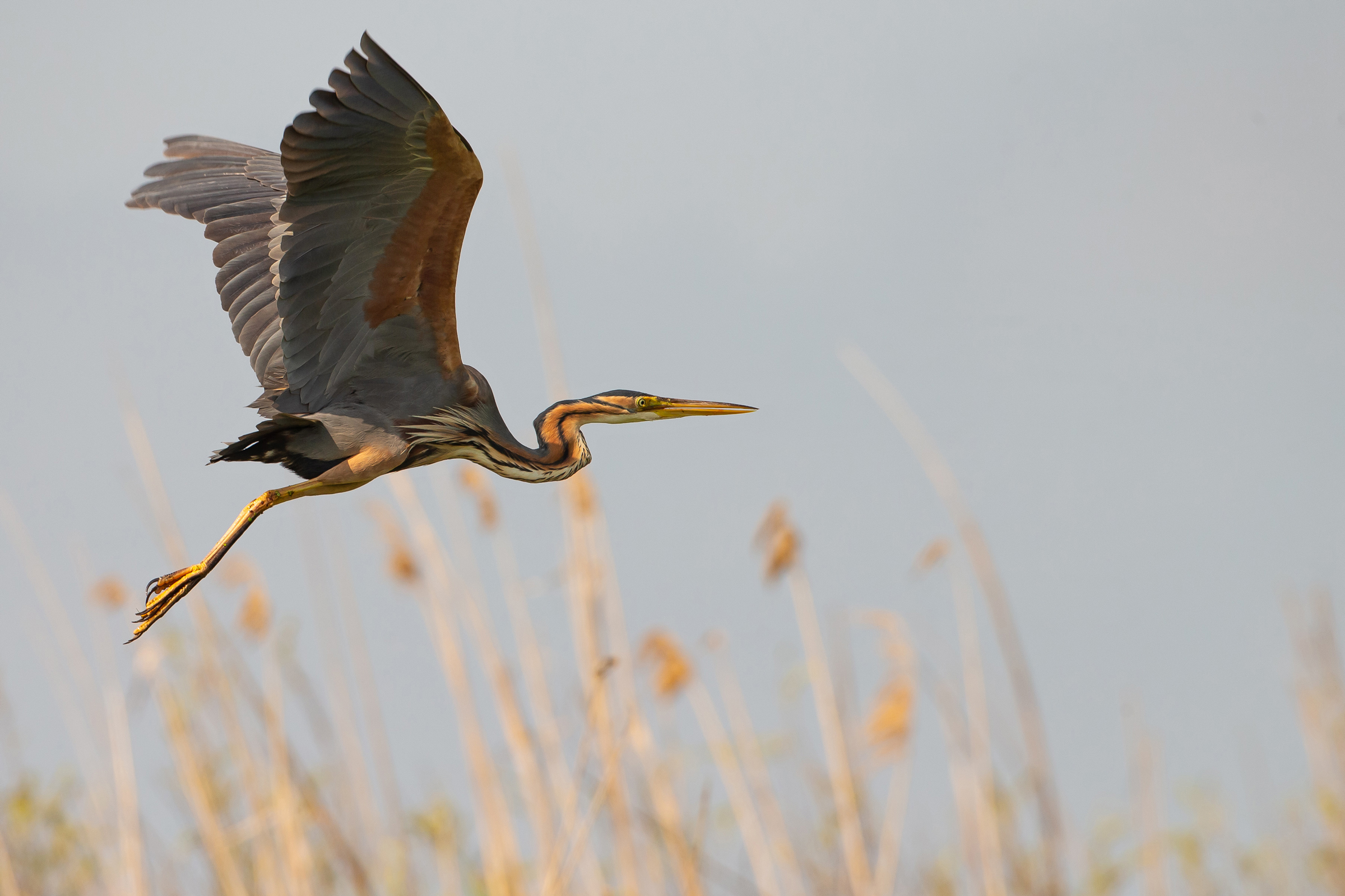 Purple Herons were unusually shy in the delta