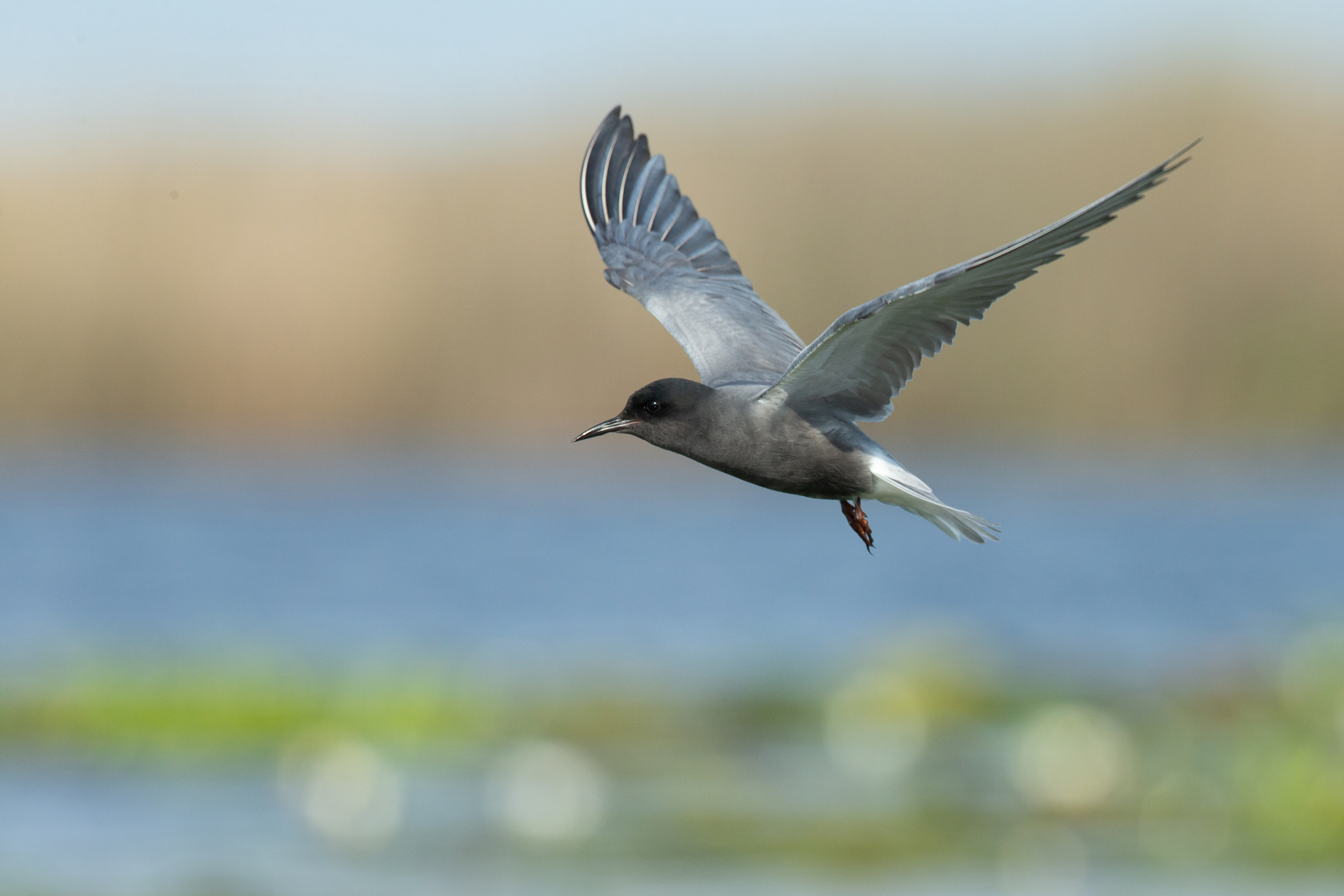 Black Tern over its lily pad colony