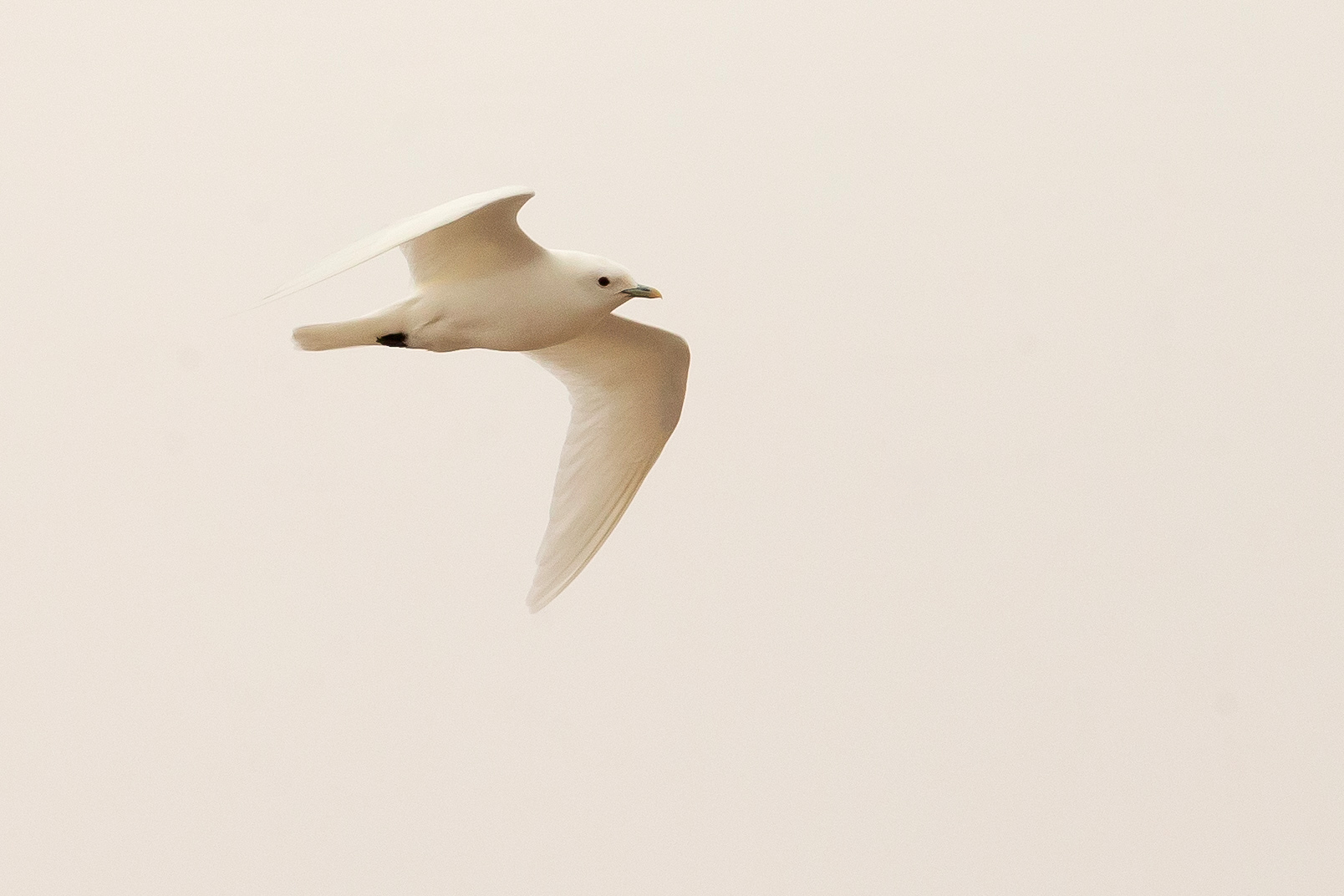 Ivory Gull, Nordenskjöldbreen (Mike Watson)