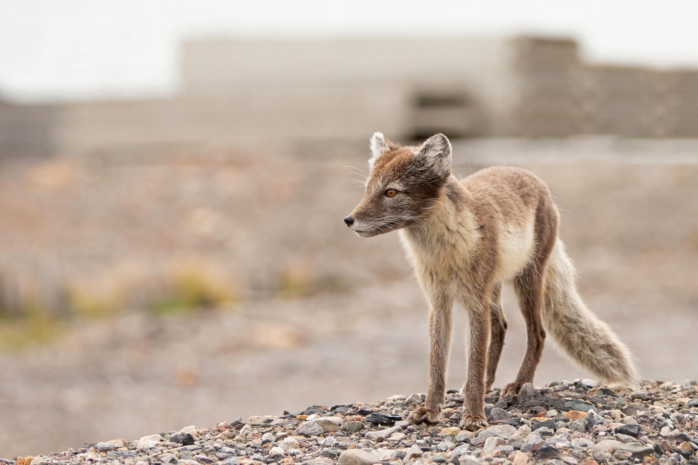 Arctic Fox, Pyramiden (Mike Watson).