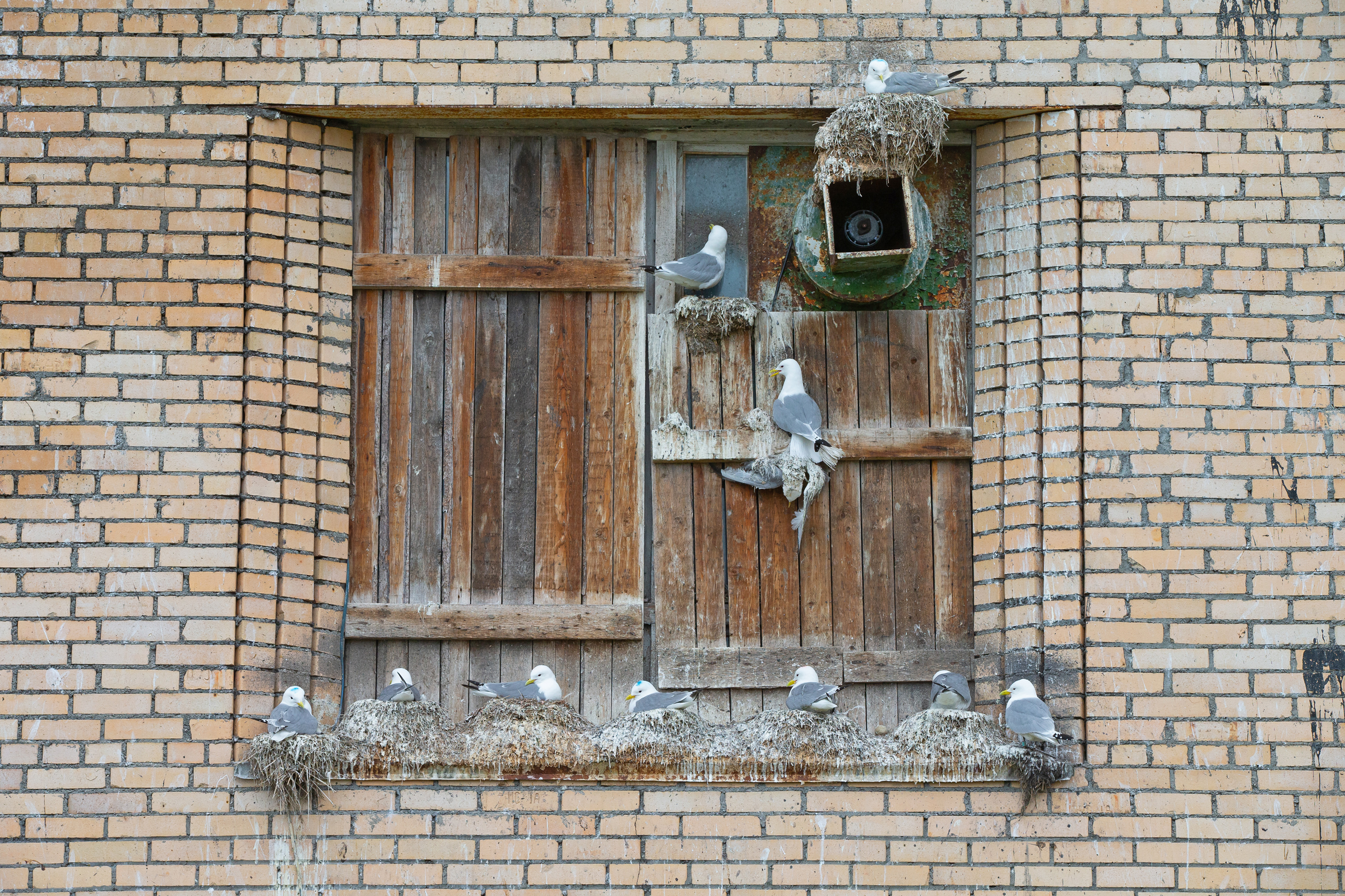 Kittiwakes on the workers' accommodation building (Mike Watson).