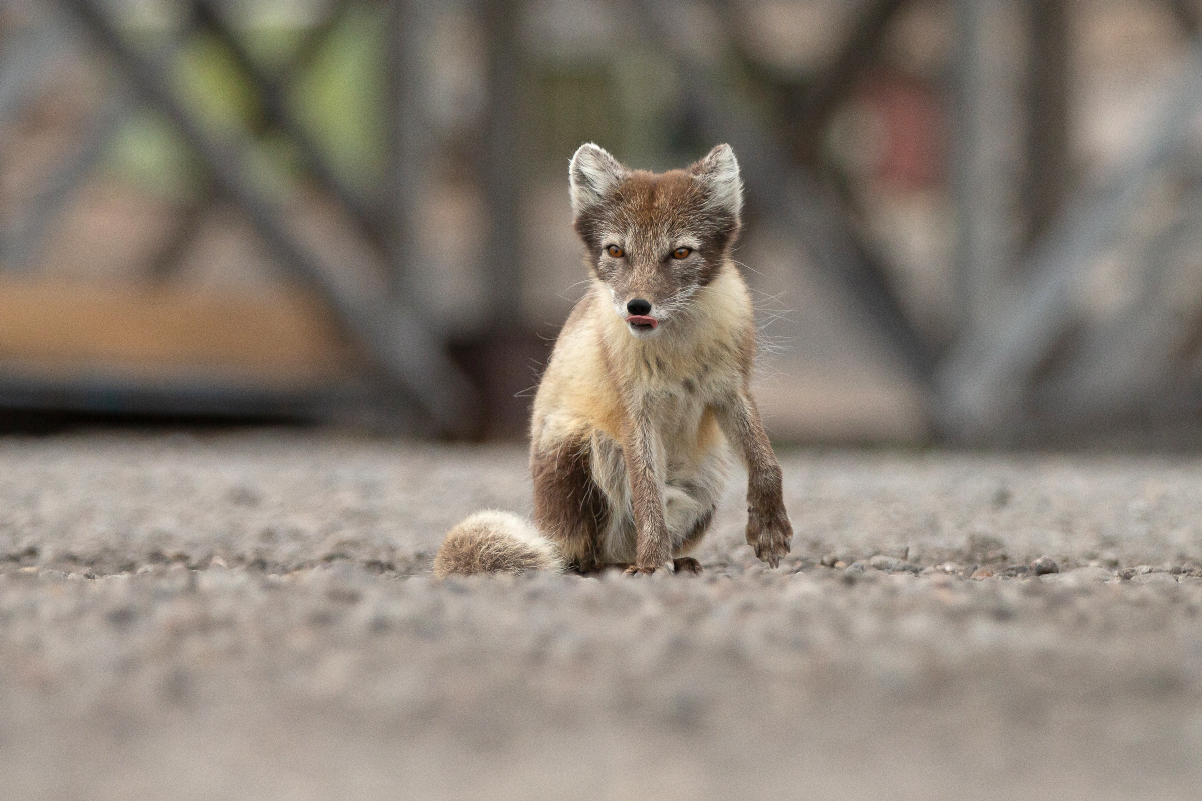 Arctic Fox, Pyramiden Jetty (Mike Watson).