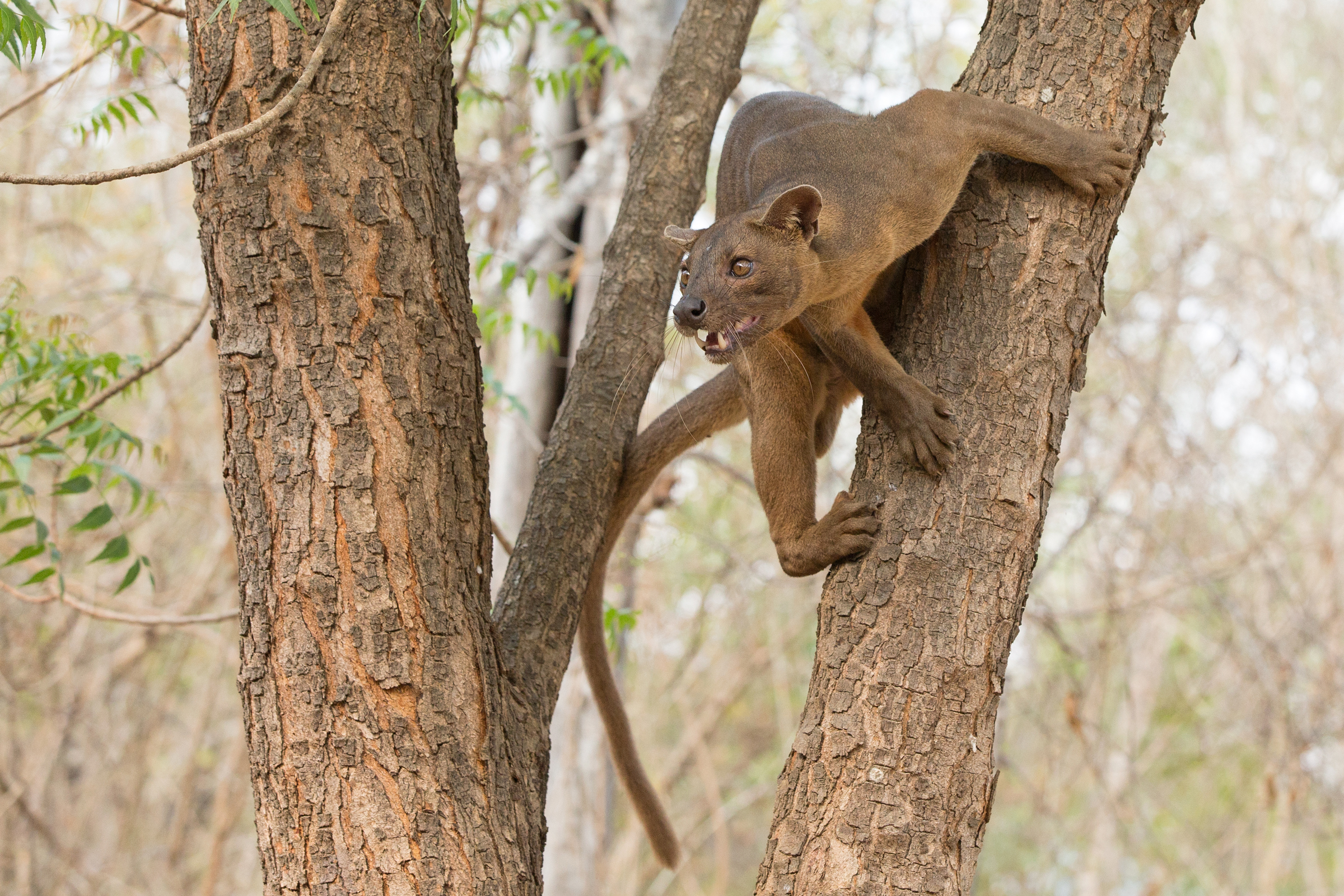 Fosa is the largest of Madagascar's carnivores and is the only one capable of preying on the adults of all lemur species! (Mike Watson)