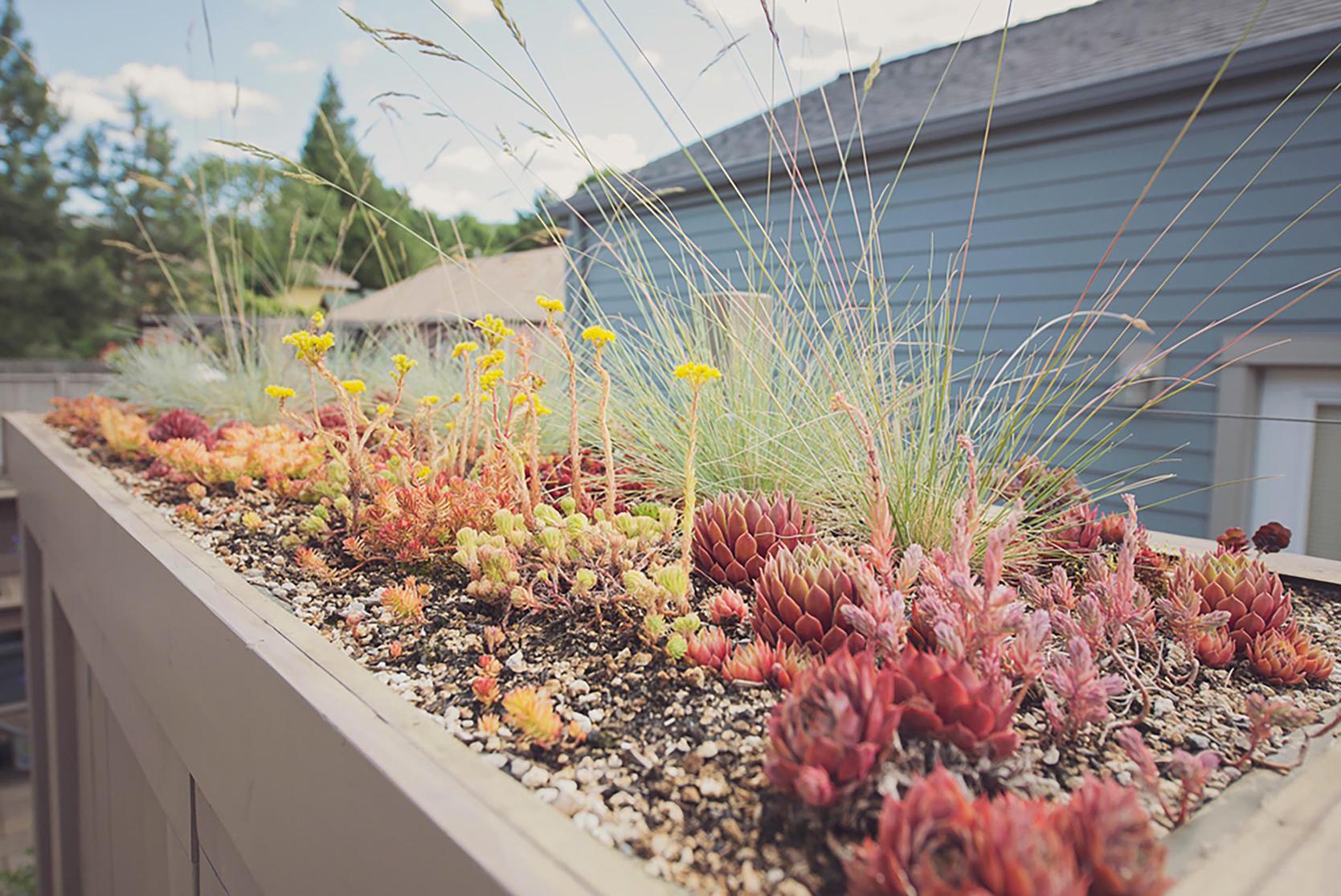 green roof succulents + shed + drought tolerant + sedum