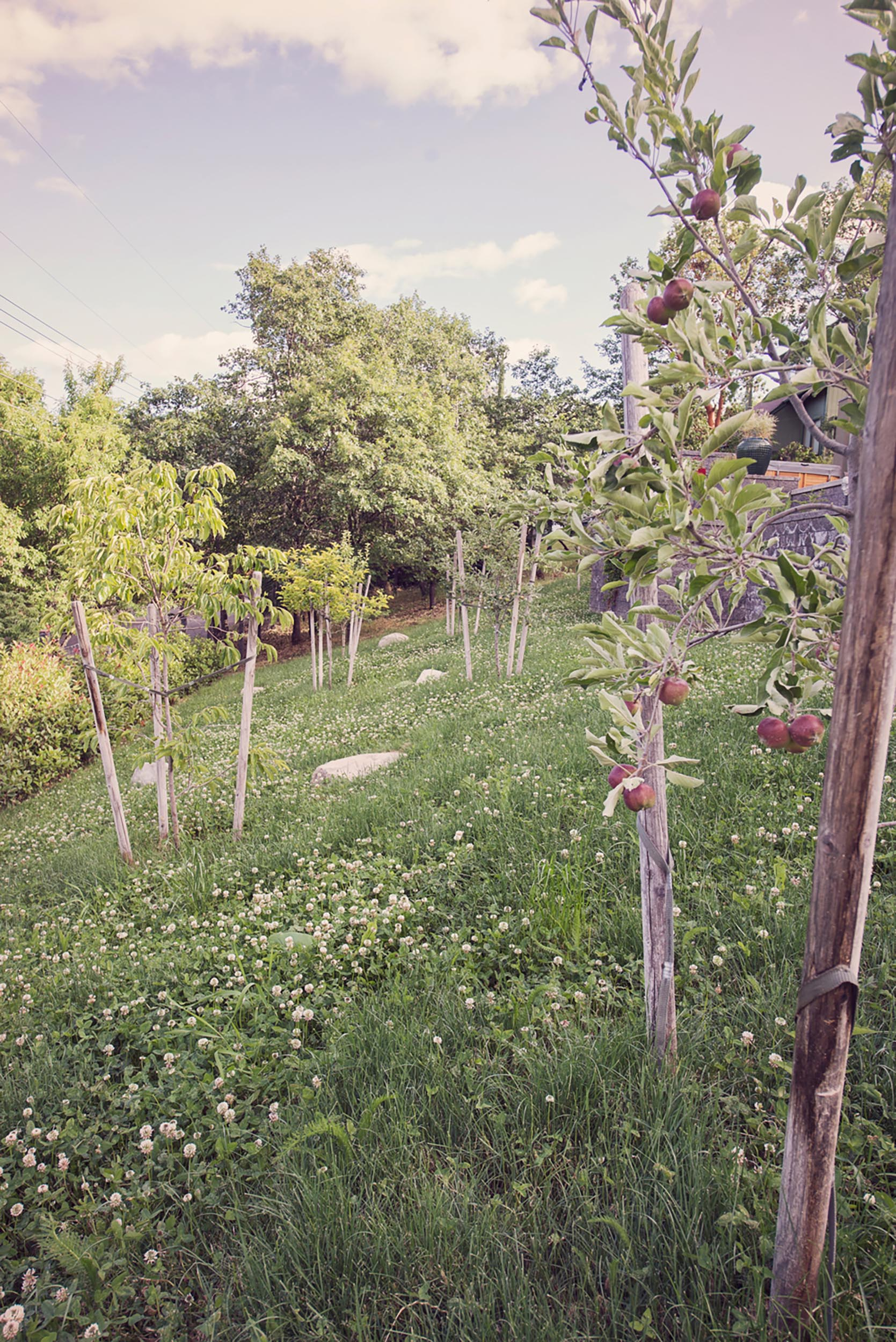 young apple orchard + low maitenance micro-clover understory + placed granite boulders + fruit trees + sustinable front yard sloping hillside 1.0