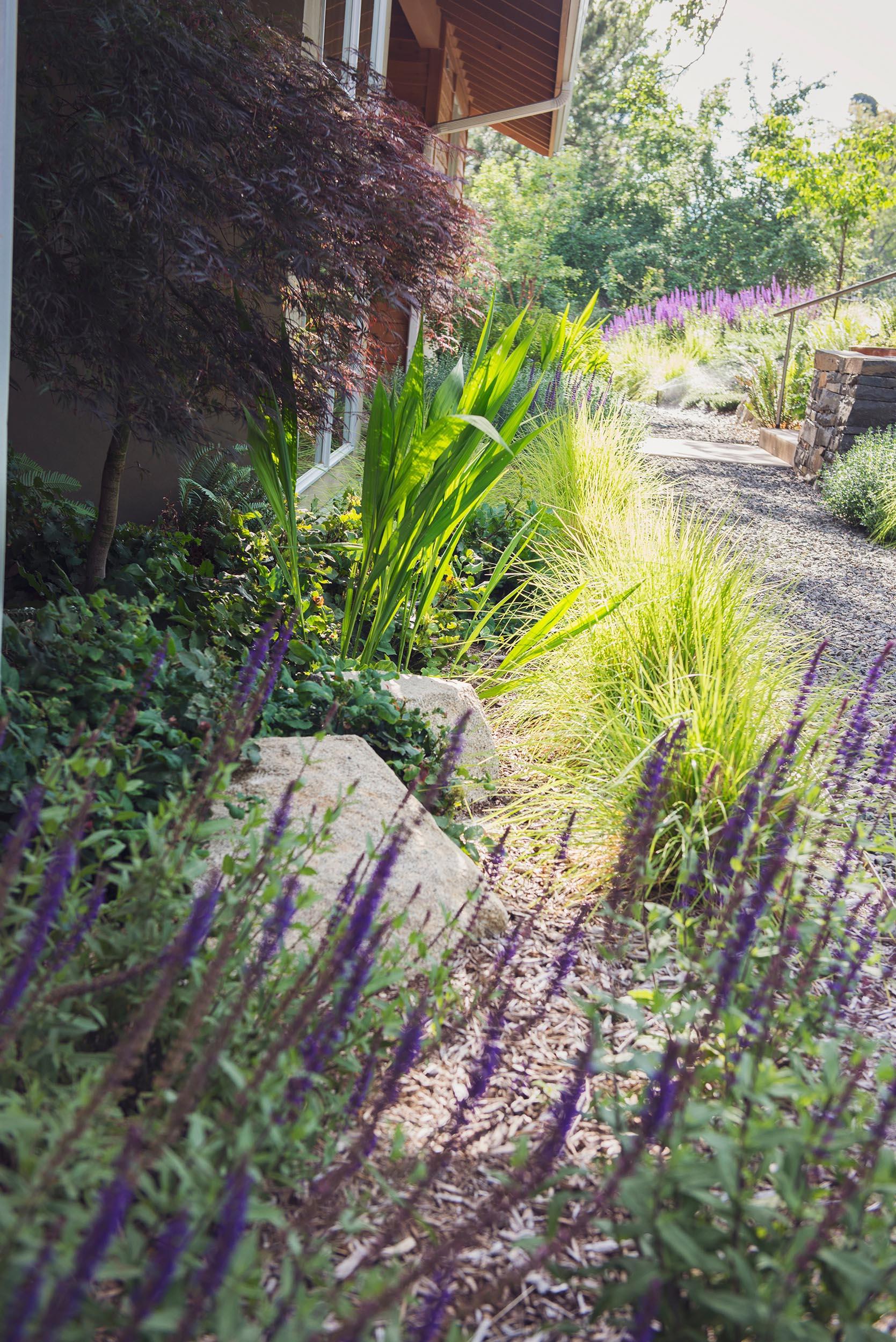 meadow salvia + bunch grasses +crocosmia + autumn moore grass +  perennial garden + japanese maple + crushed basalt path + stacked basalt locally qu