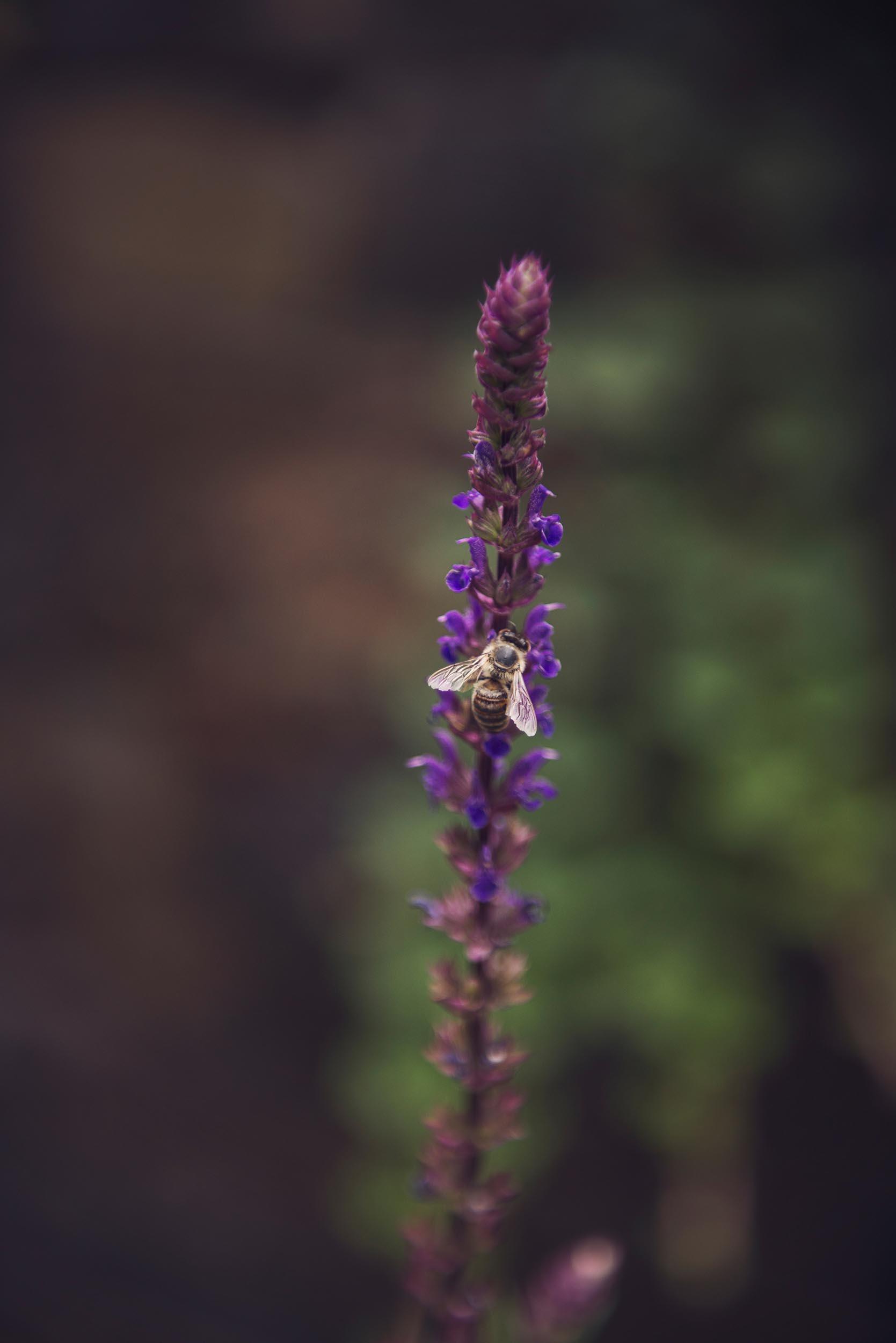 Salvia Nemorosa Caradonna + Pollinator + Bee