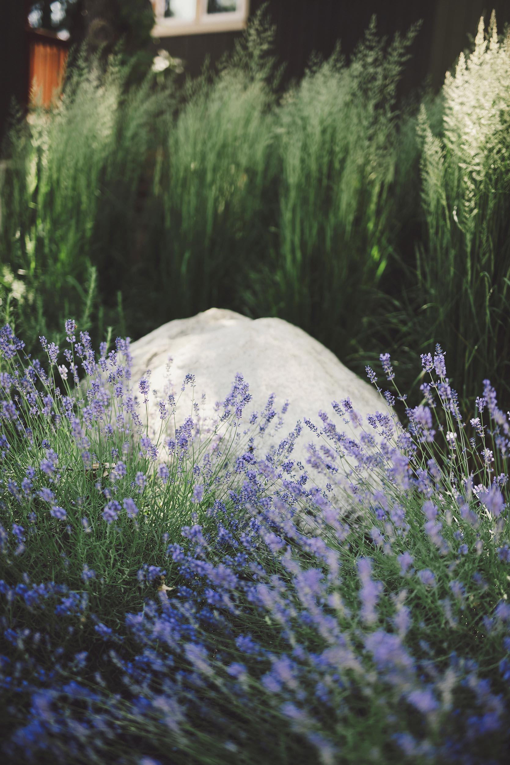 hidden granite boulder close up + lavender + tall soft grasses + modern PNW landscape
