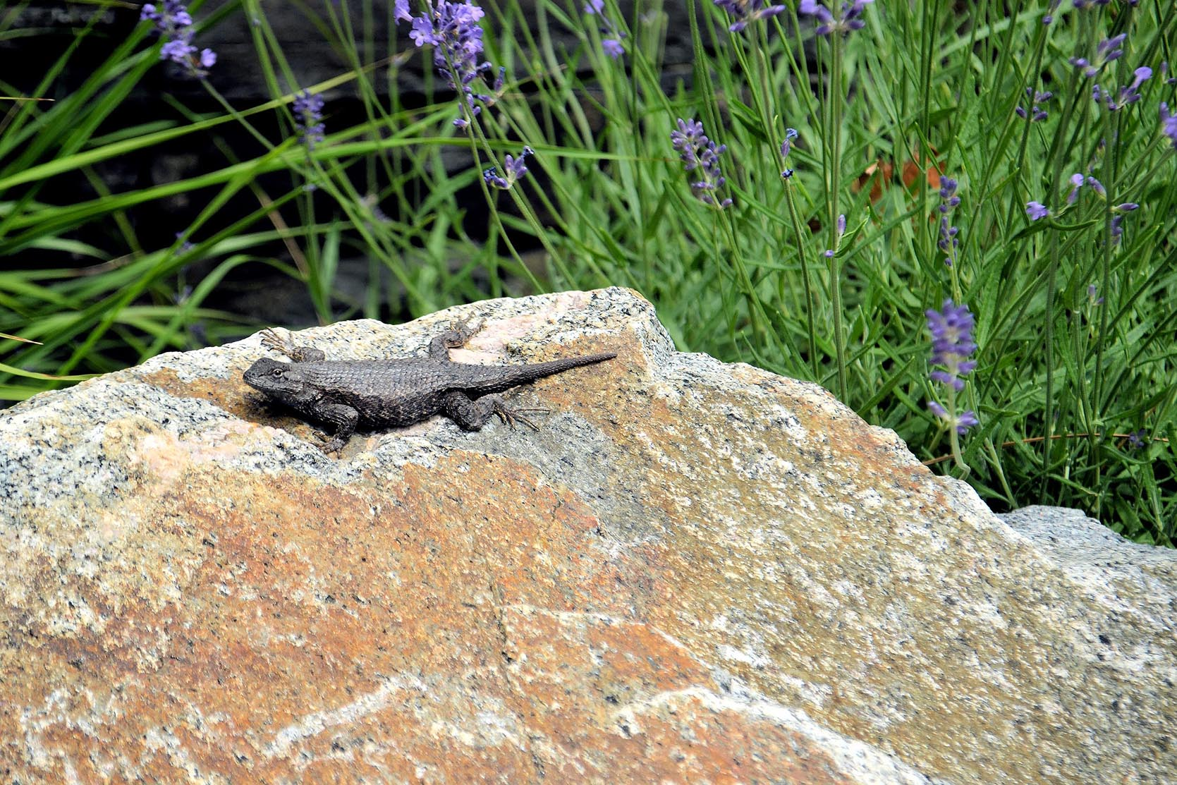 Lizzard Sitting on a Granite Rock with Lavender Blooms