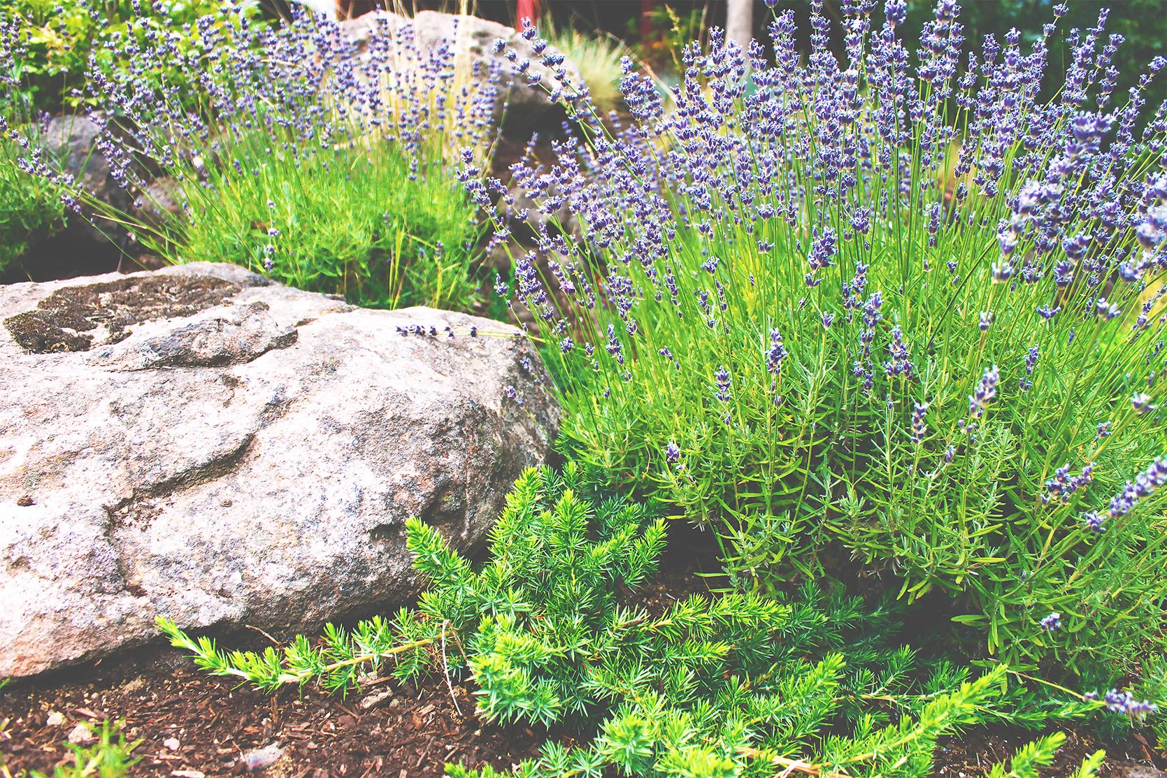 Lavender  + Driveway Edge + Drought Tolerant Plants + Creeping Rosemary + Deer Resistant