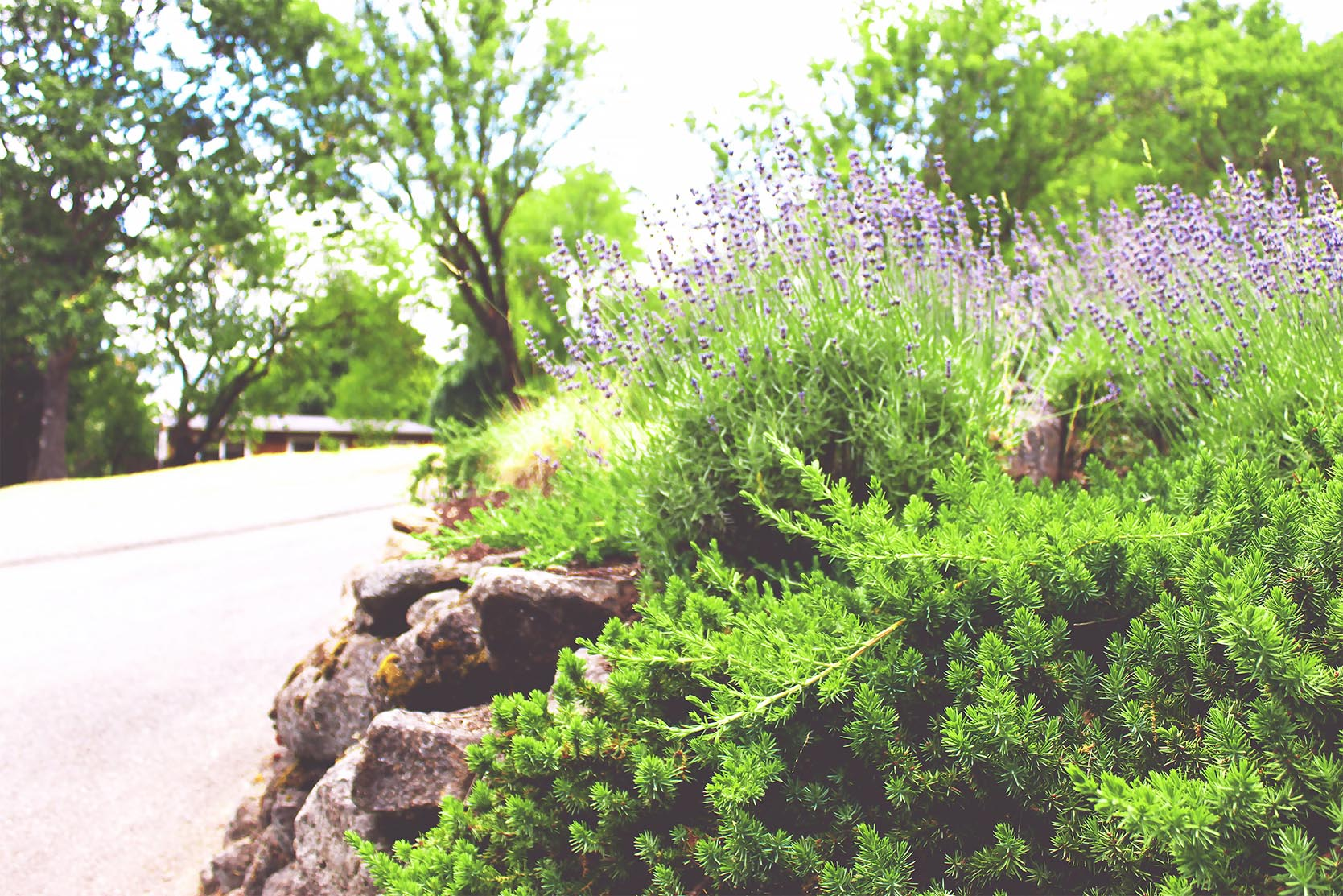 Rock Wall + Driveway Edge + Drought Tolerant Plants + Creeping Rosemary + Lavender