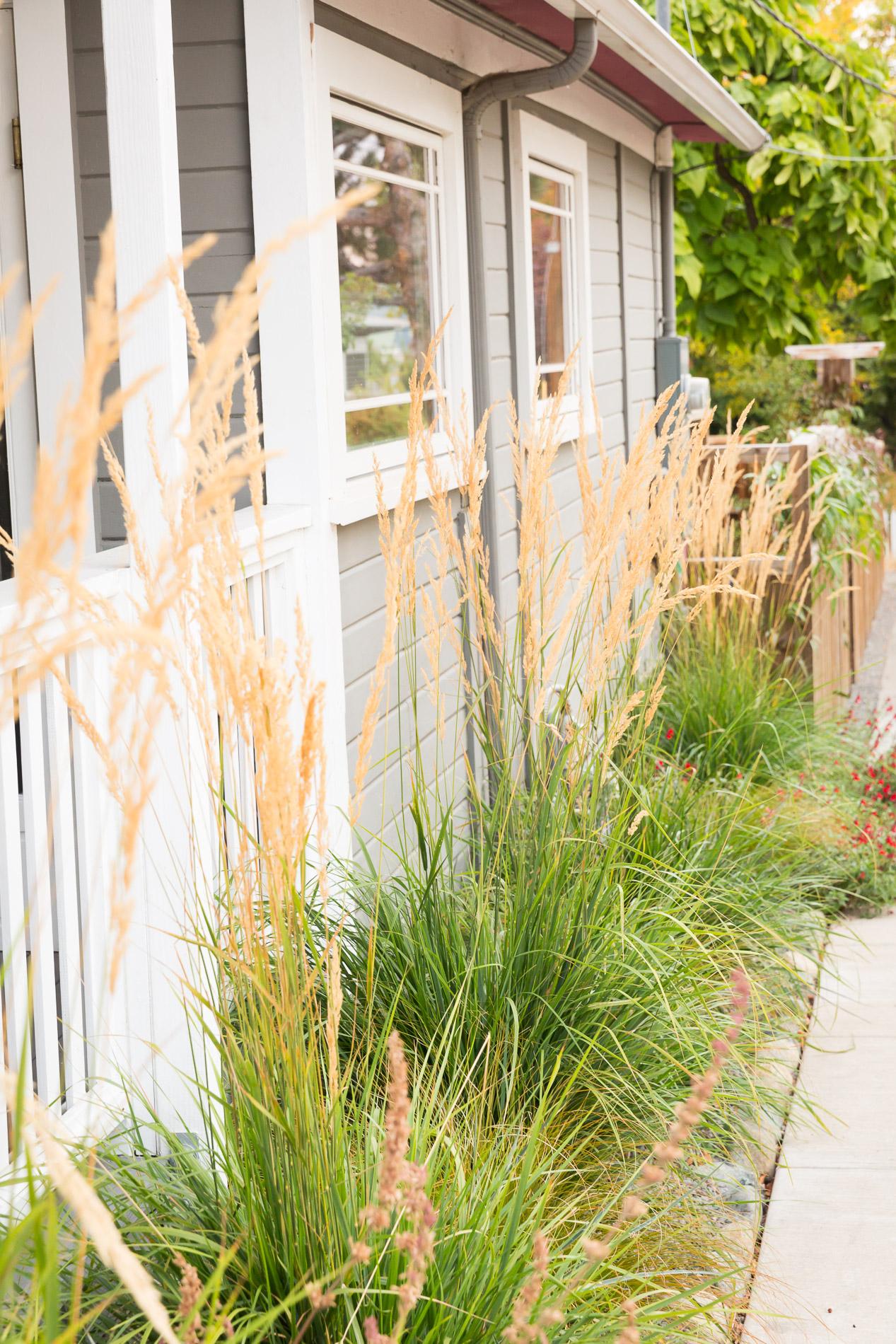 'Karl Foerster' Feather Reed Grass [Calamagrostis x acutiflora]