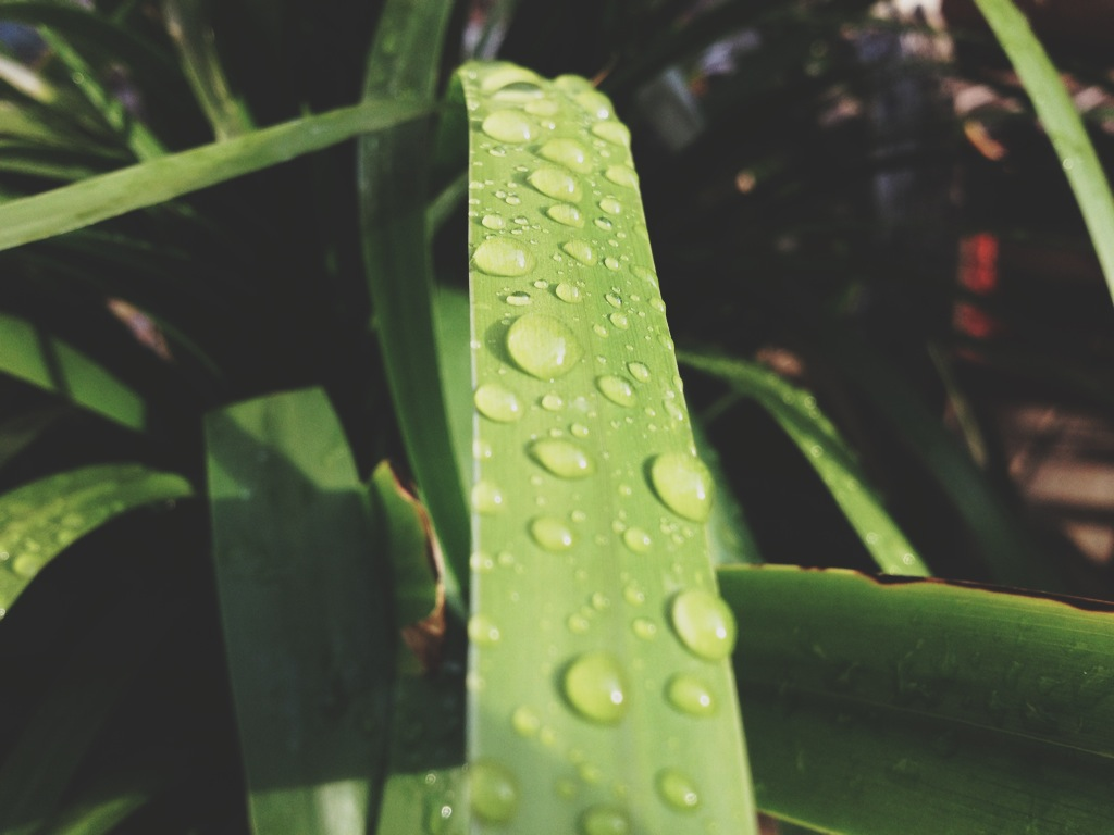 morning dew on plants.JPG