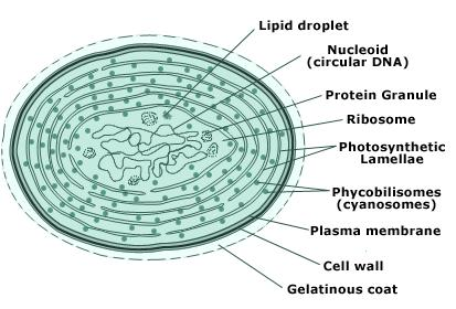 cyanobacteria-cell-structure.jpeg