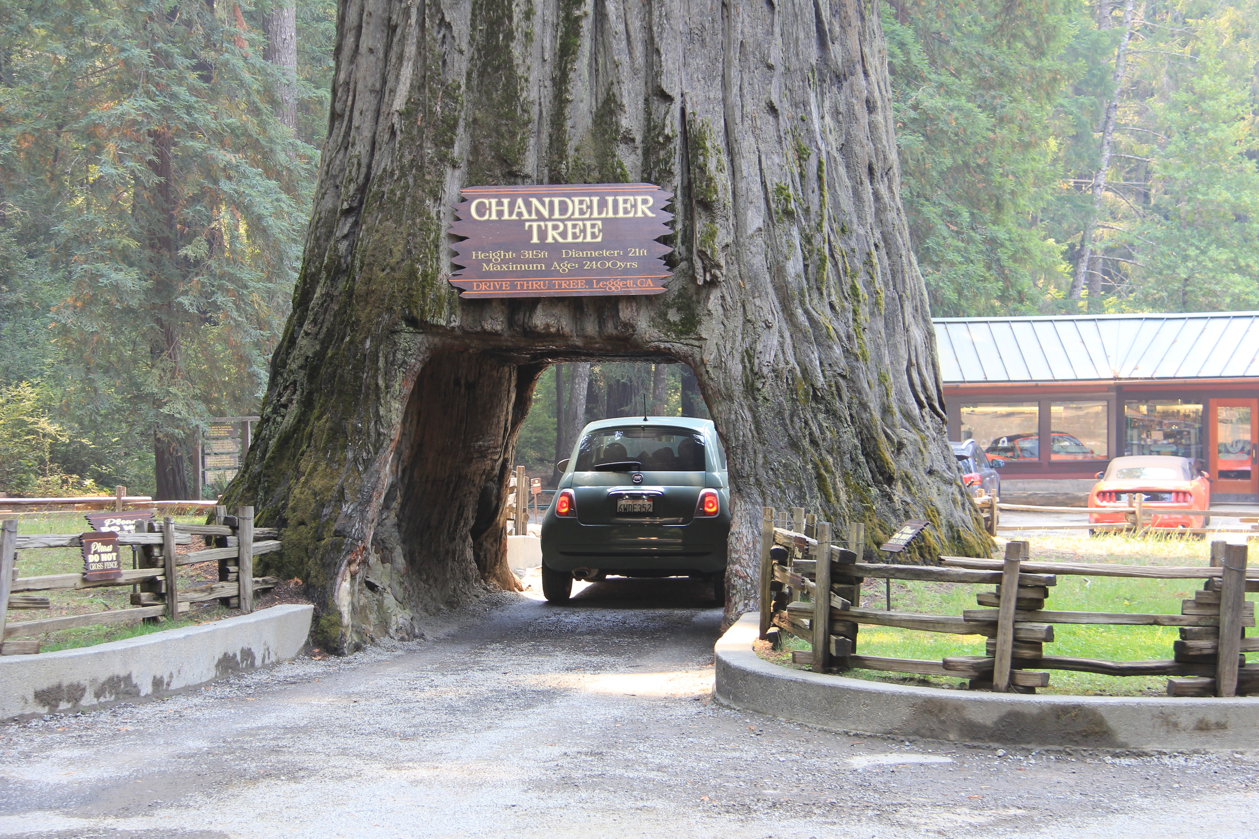 The Drive Thru Tree in Leggett, California, on the Redwood Highway