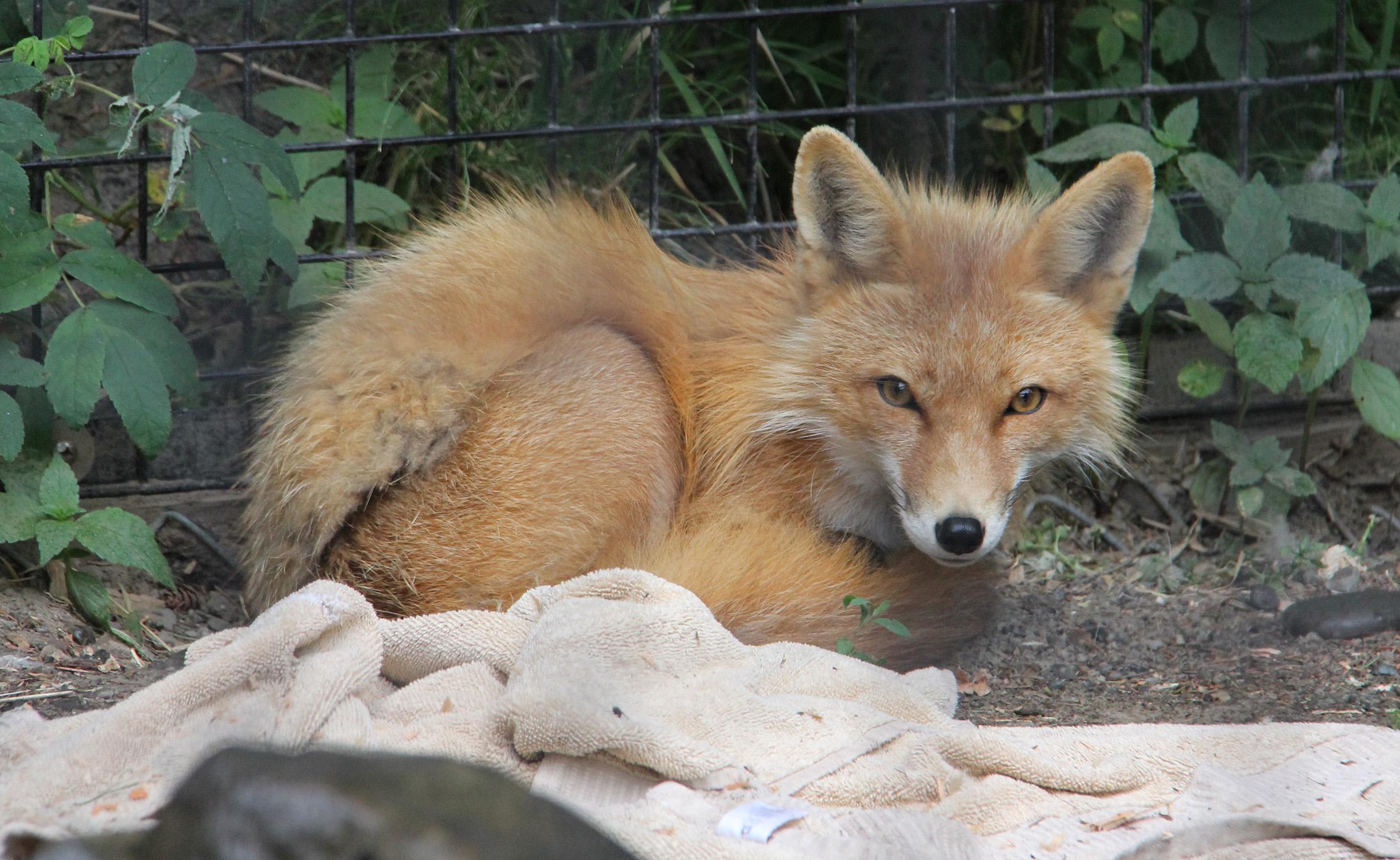 A Red Fox. So cute.