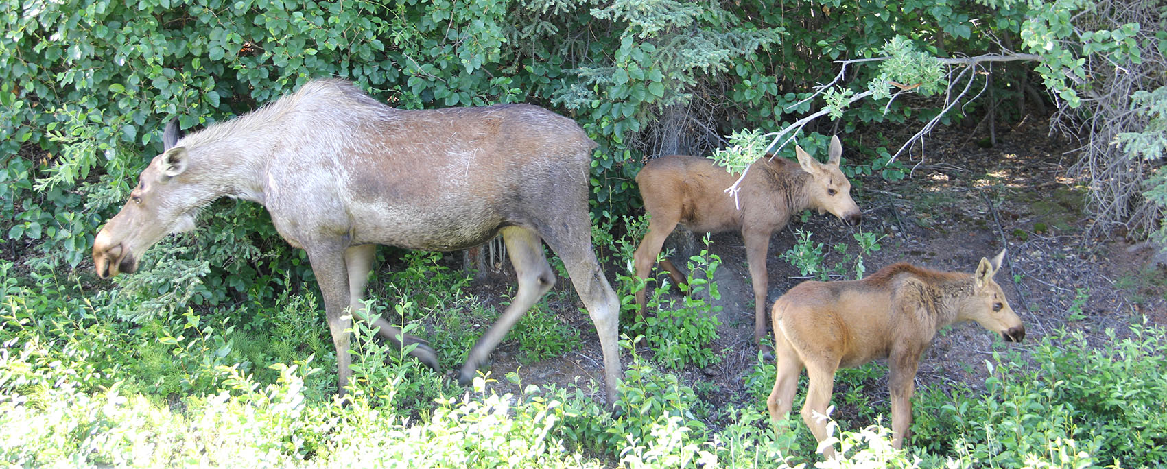 Mummy moose and her babies, less than two months old.