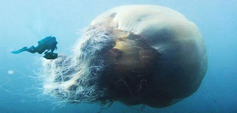 lions-mane-jellyfish--768x367.jpg