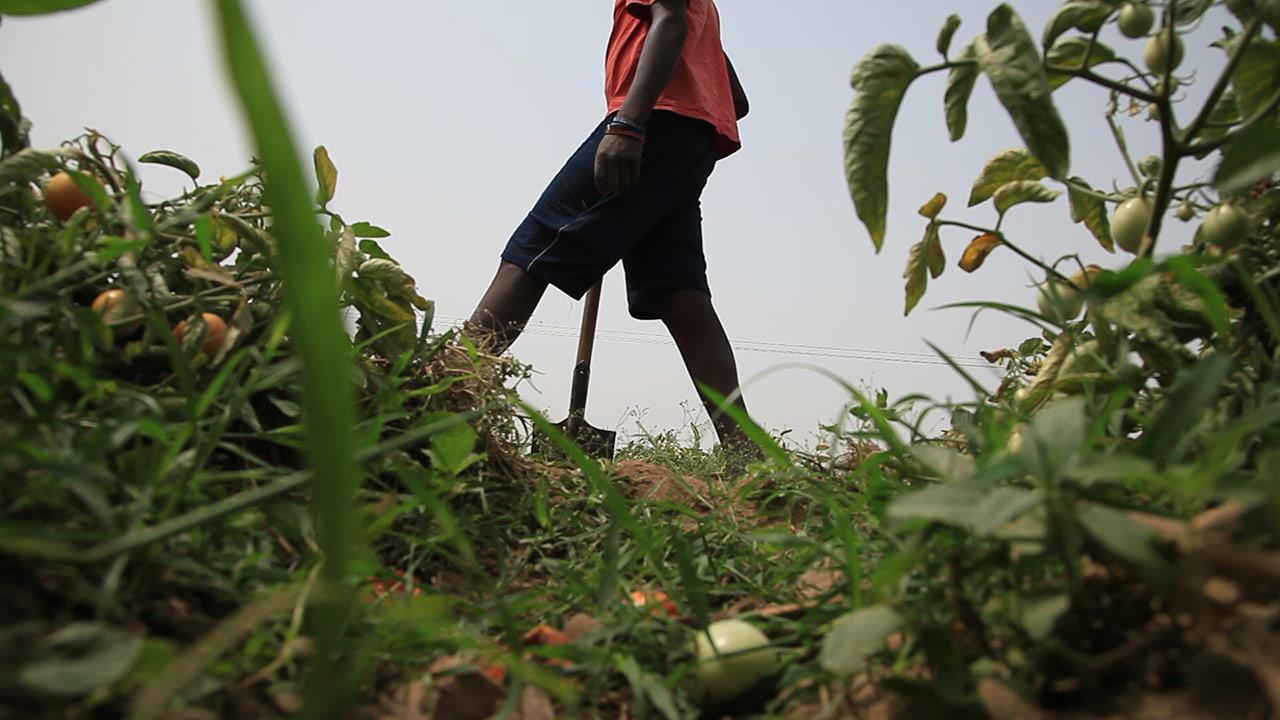 Esclavage - Récolter la tomate ou récolter la mort ? -