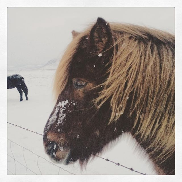 Icelandic horse ... #travel #iceland #winter #phototour #photoguide #photosafaris #horse