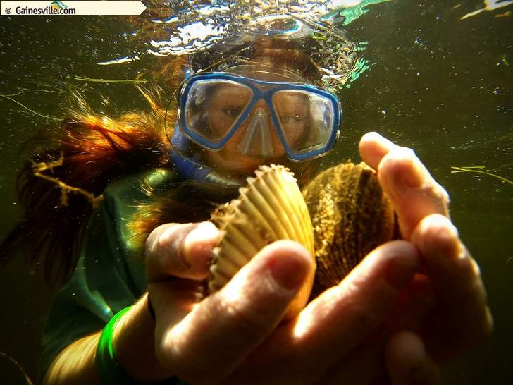 Matt Stamey/The Gainesville Sun   In this June 28, 2014 file photo, Heather Hamilton, then 11, carries a handful of scallops back to her boat after picking them from the grassy bottoms during the first day of scallop season ioff the coast of Steinhatchee.