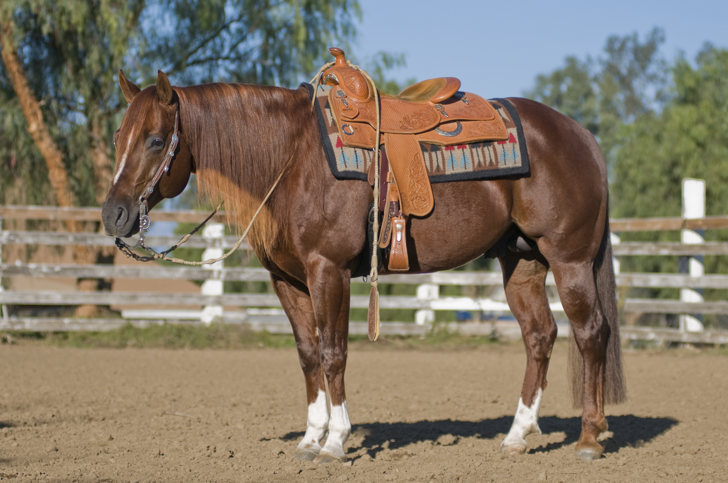 Major-saddle.jpg