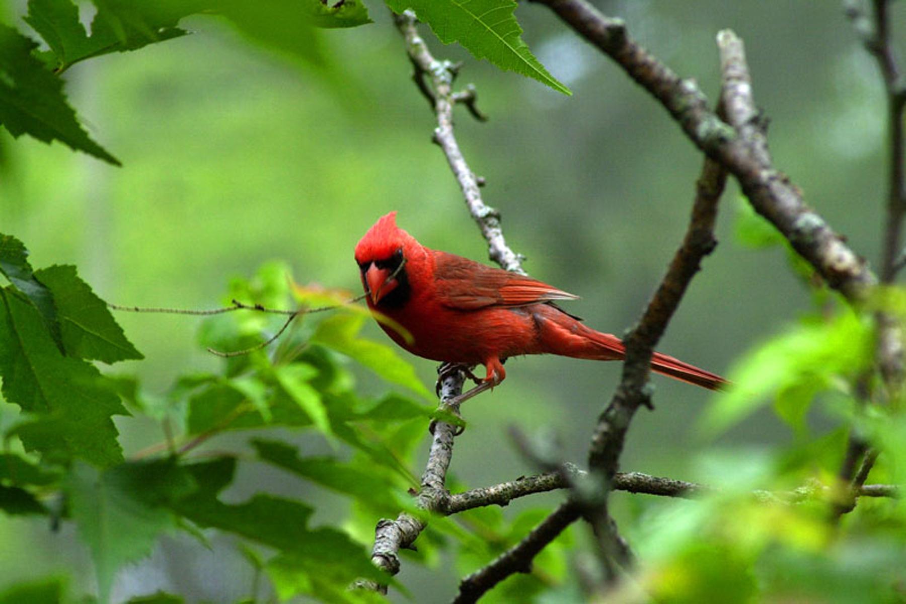 1348_cardinal.jpg
