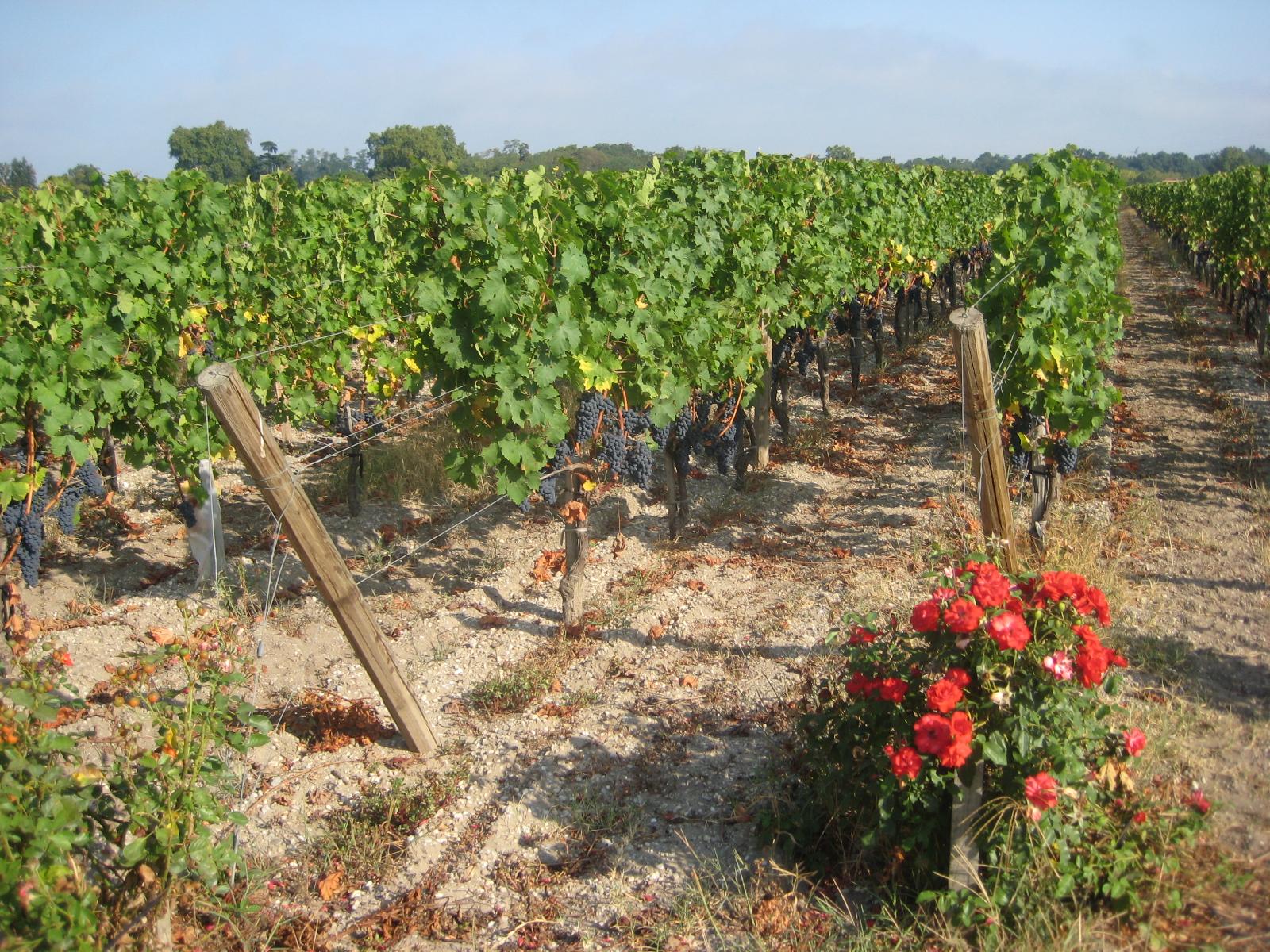 Las rosas se siembran junto a los viñedos, como una forma natural de repeler las plagas y enfermedades.