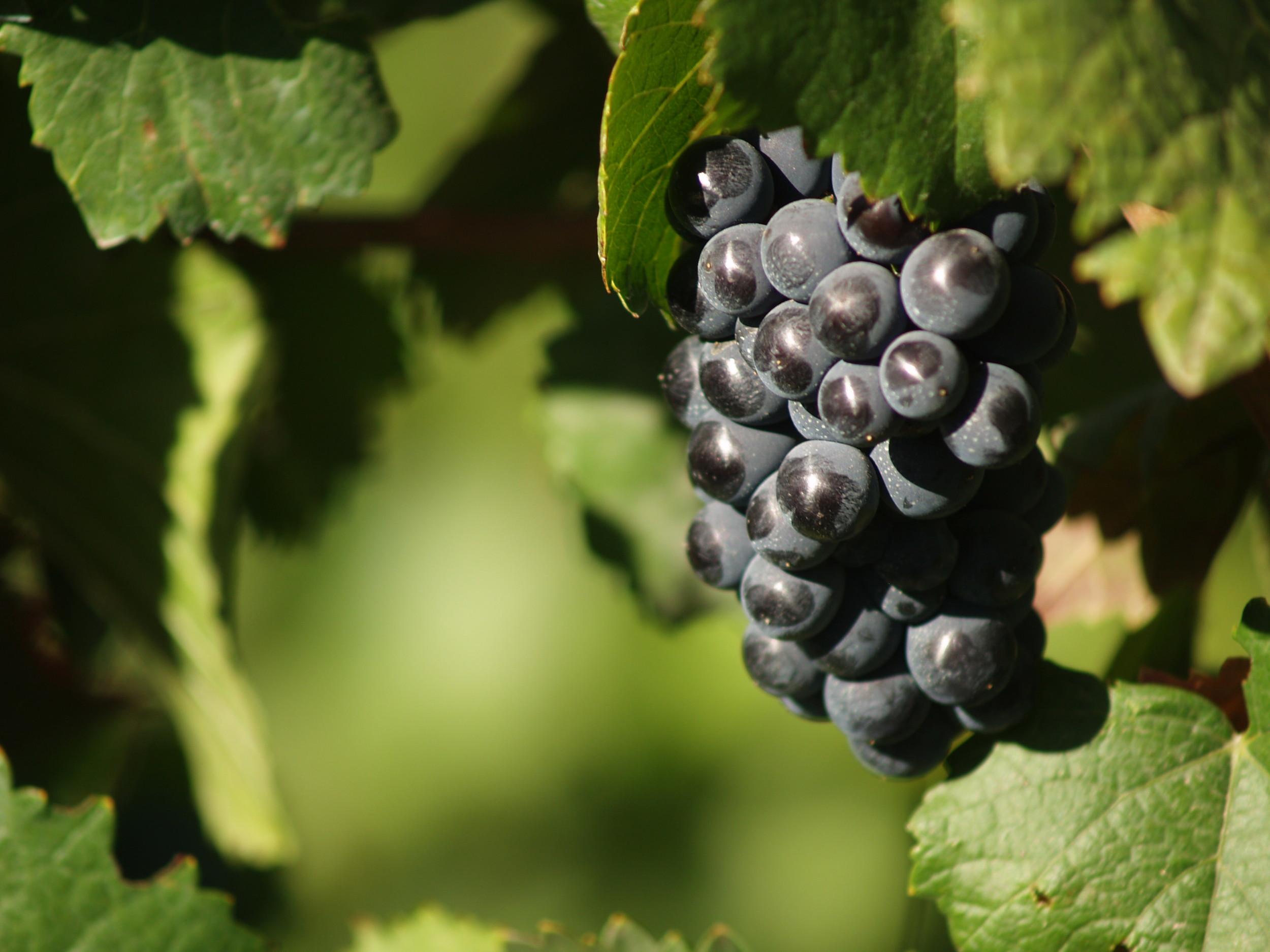 En tintas, la uva más usada para los espumantes es la pinot noir.