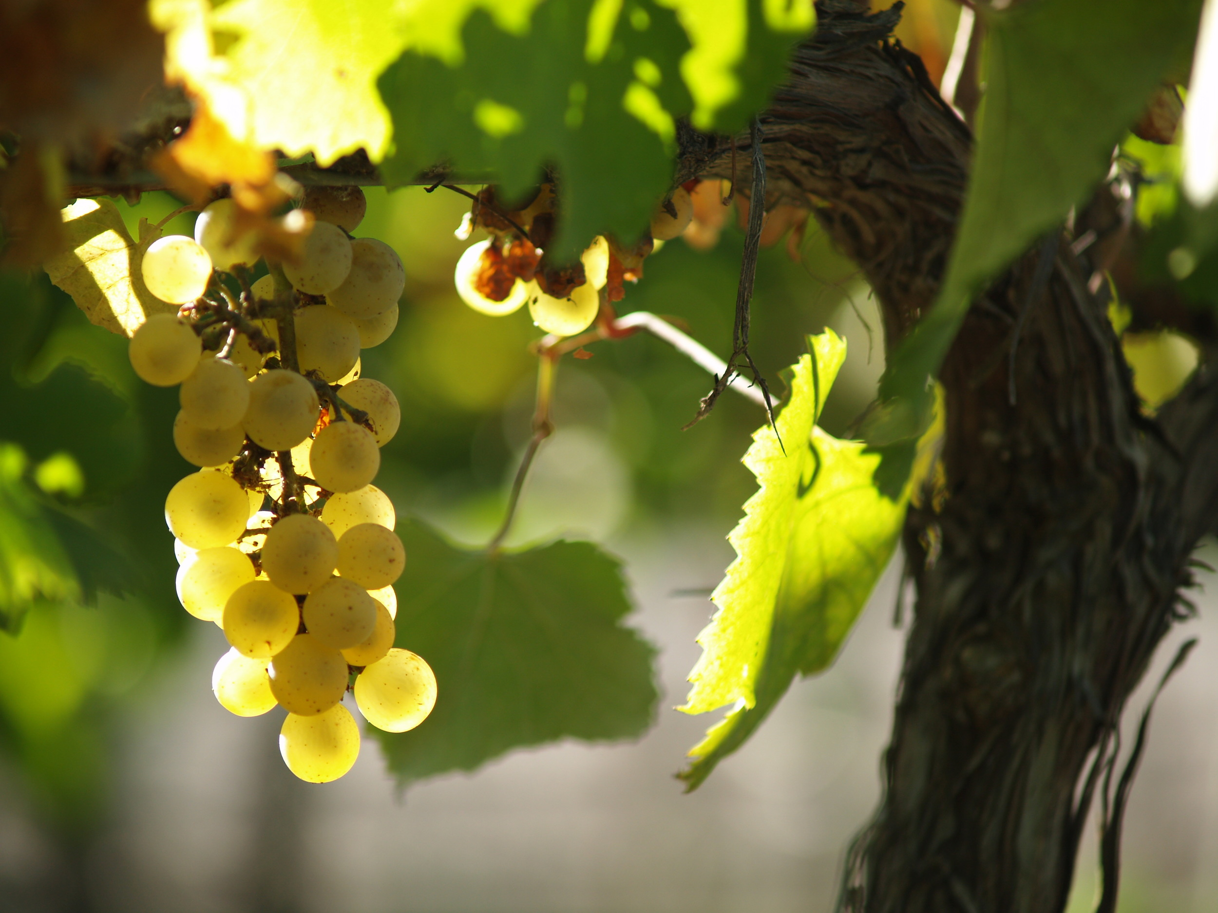 Uva chardonnay en los viñedos de Cruzat.