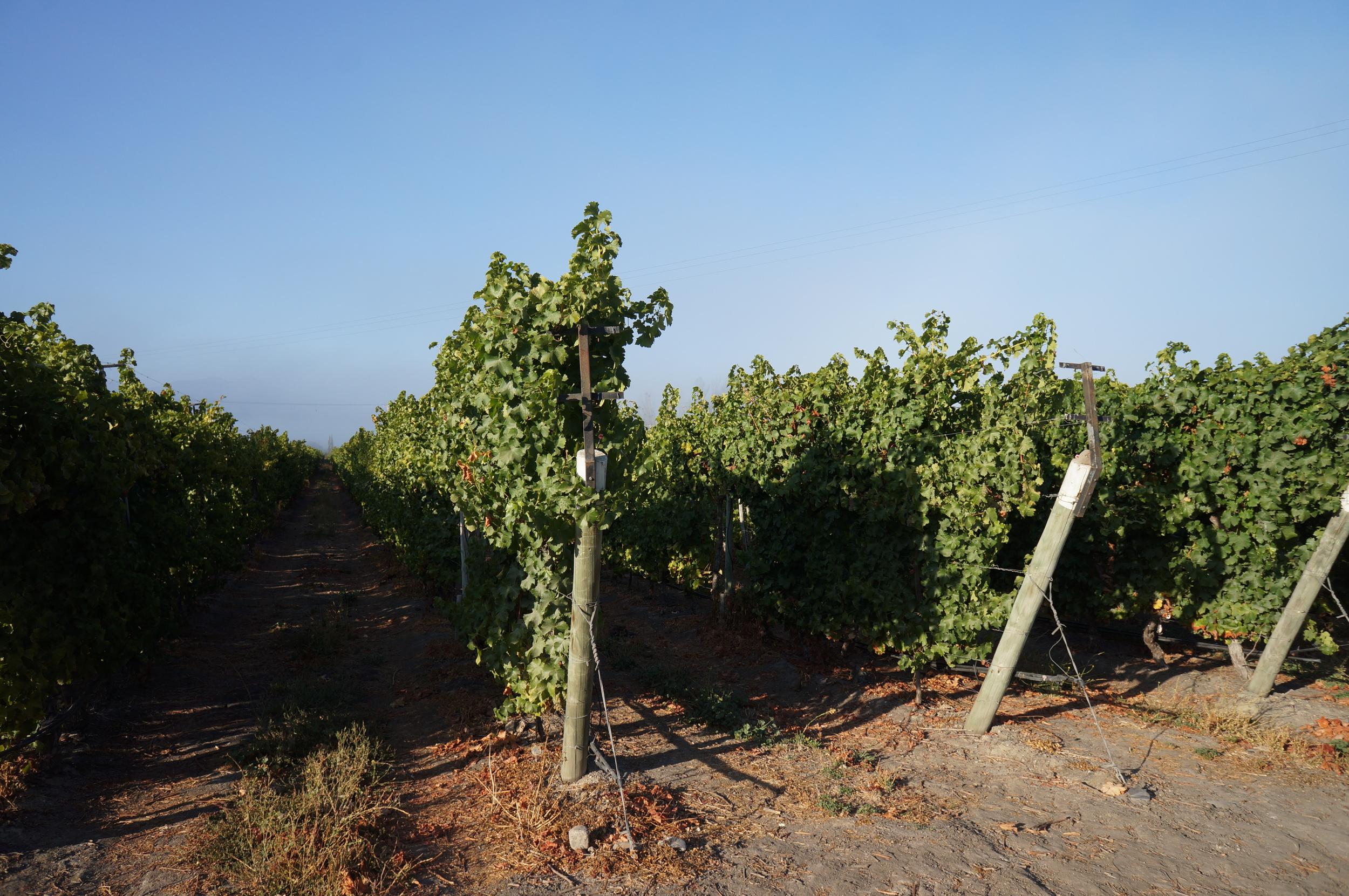 Los viñedos de William Cole en el valle de Casablanca.