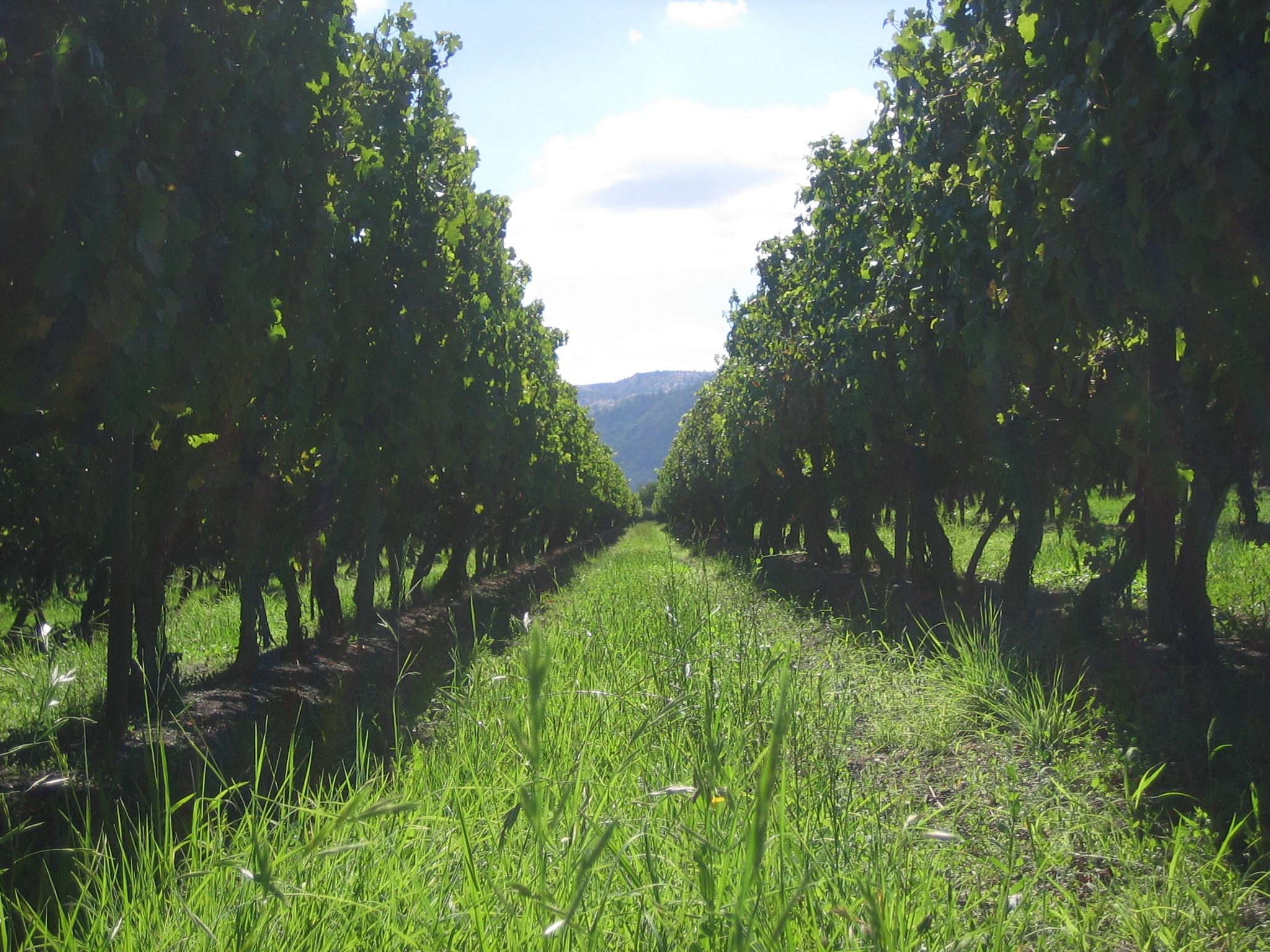 Viñedos de Viña Echeverría en el valle de Curicó.