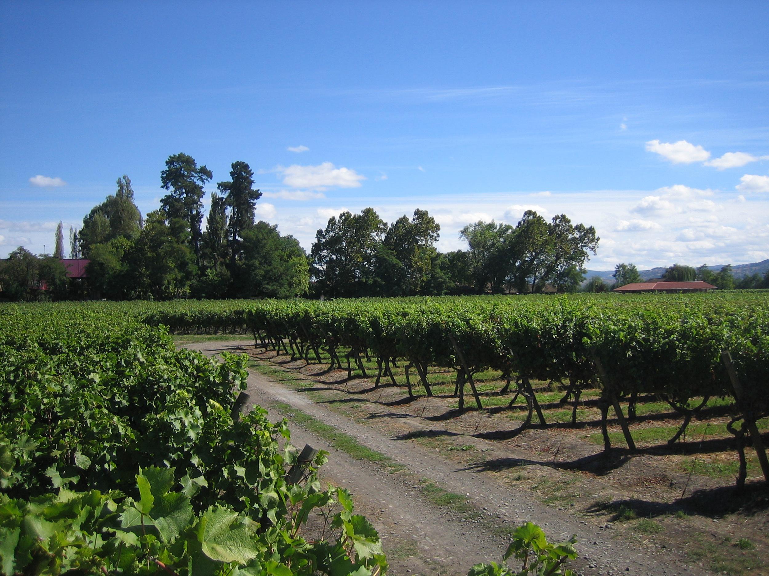 Vineyard 6.jpg