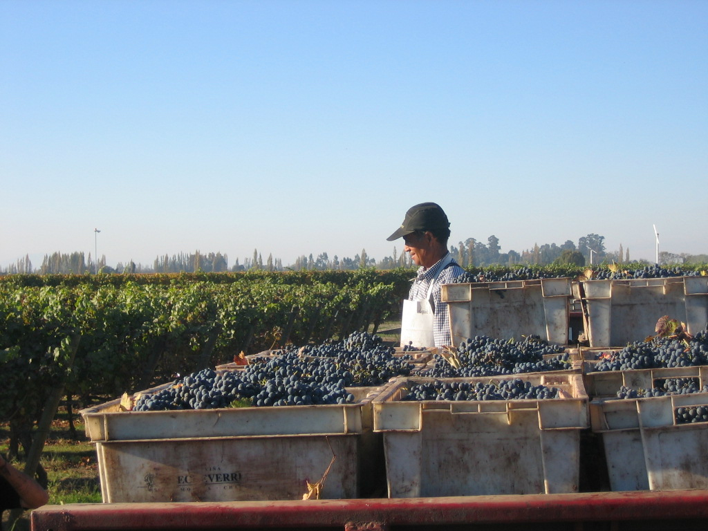 Un cuidadoso proceso de recolección y selección de frutos es realizado por el personal de la bodega.