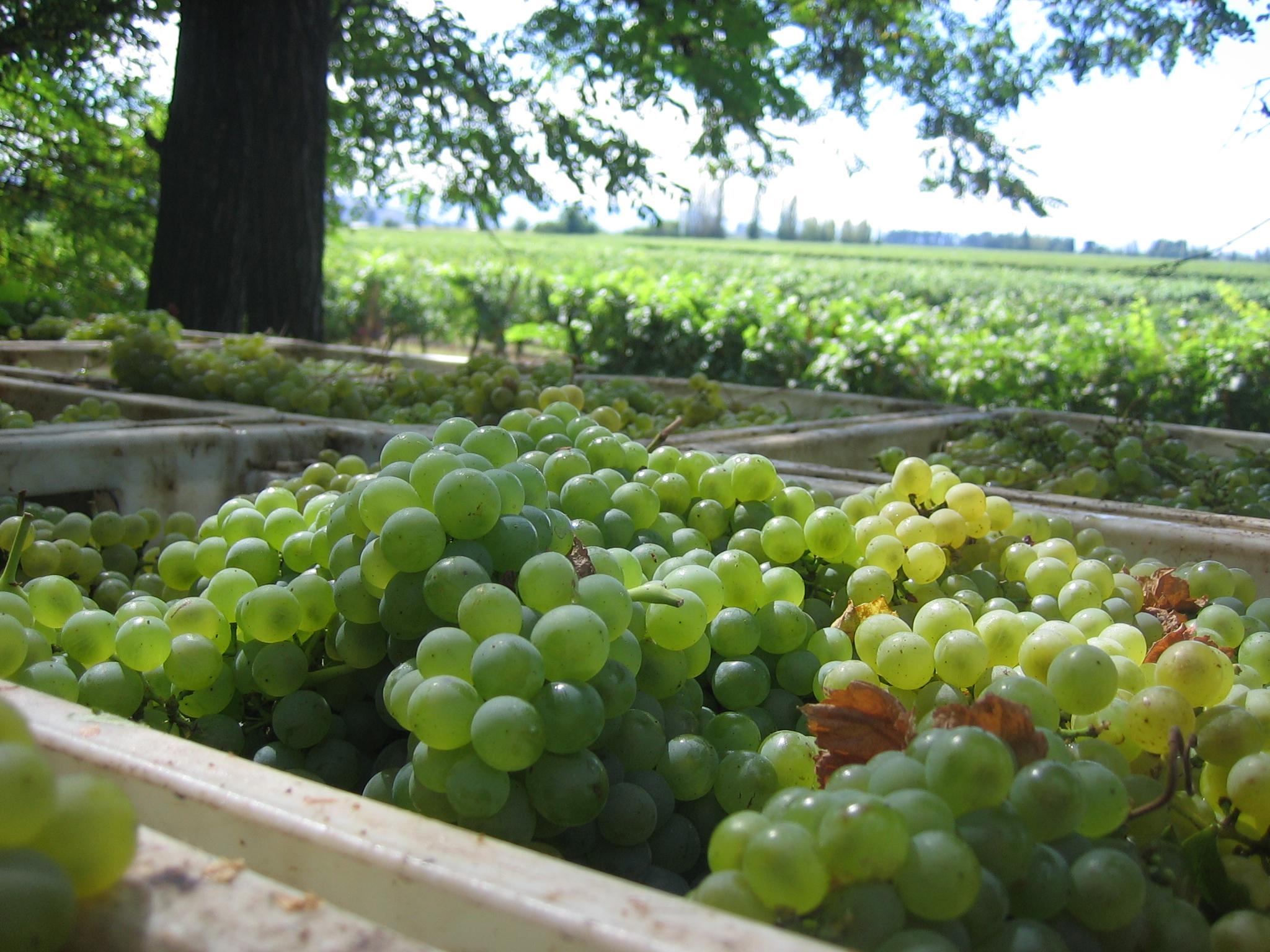 En vinos blancos Echeverría produce sauvignon blanc y chardonnay.