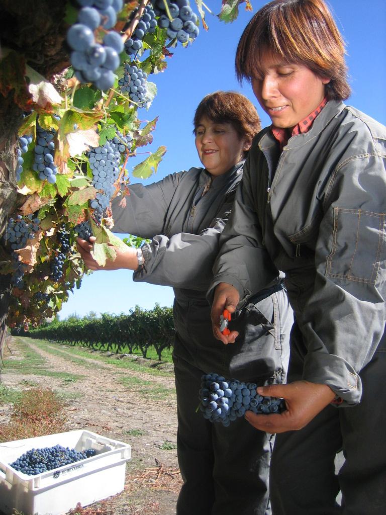 La cosecha a mano, como se observa aquí en la bodega chilena Echeverría, resulta fundamental en una bodega boutique.