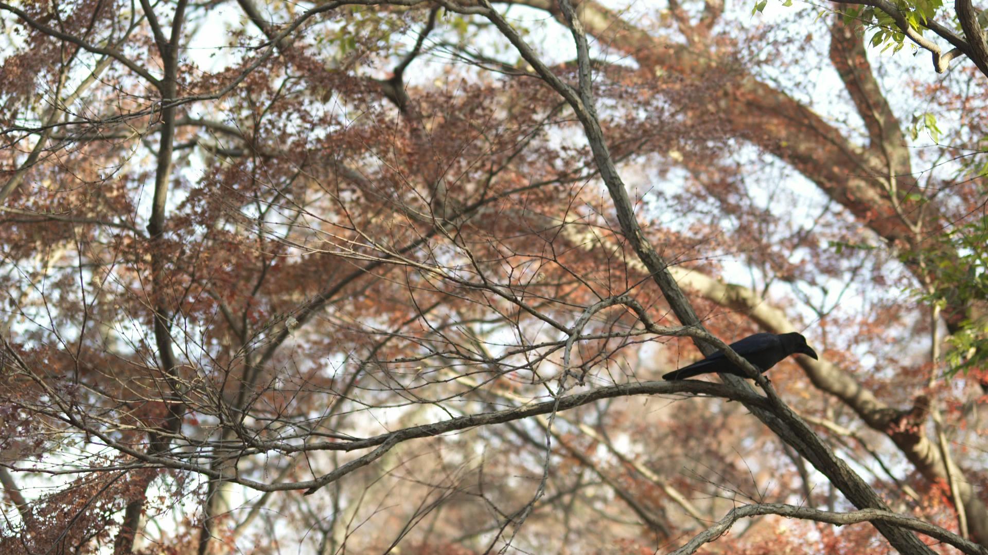 A crow in Inokashira Park.