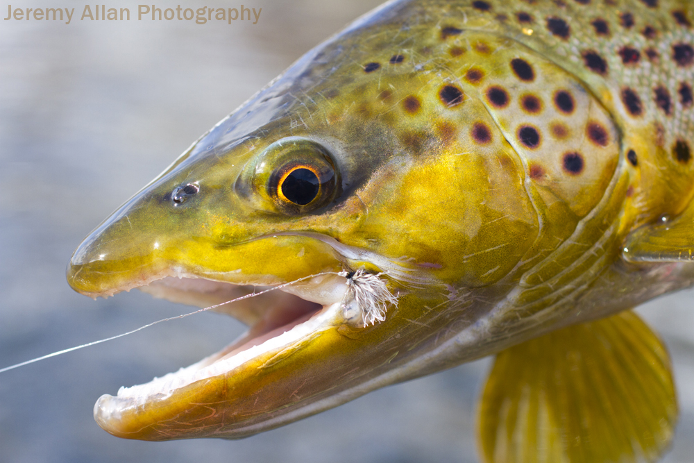 brown trout hooked up with a midge cluster pattern