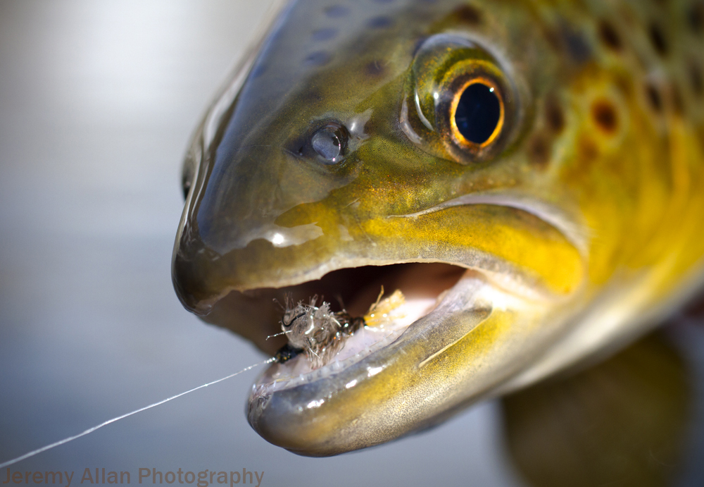 emerging midge cluster fly, brown trout