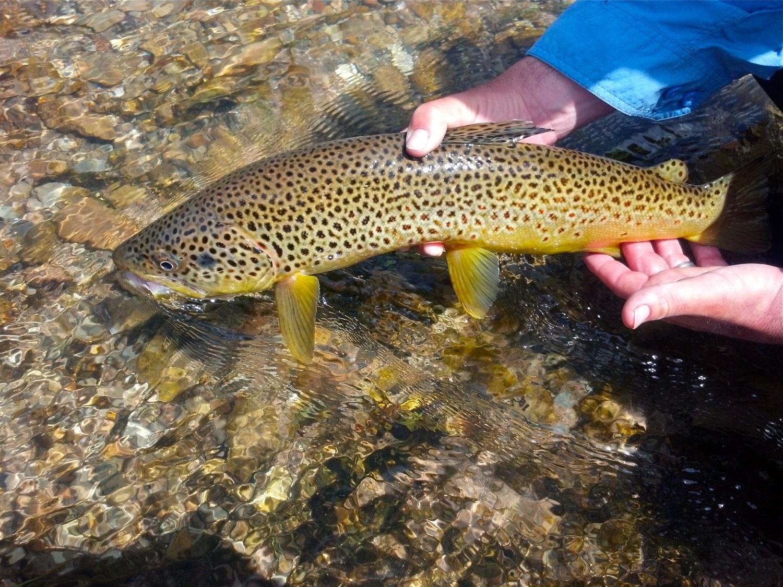 brown trout, fly fishing in Utah