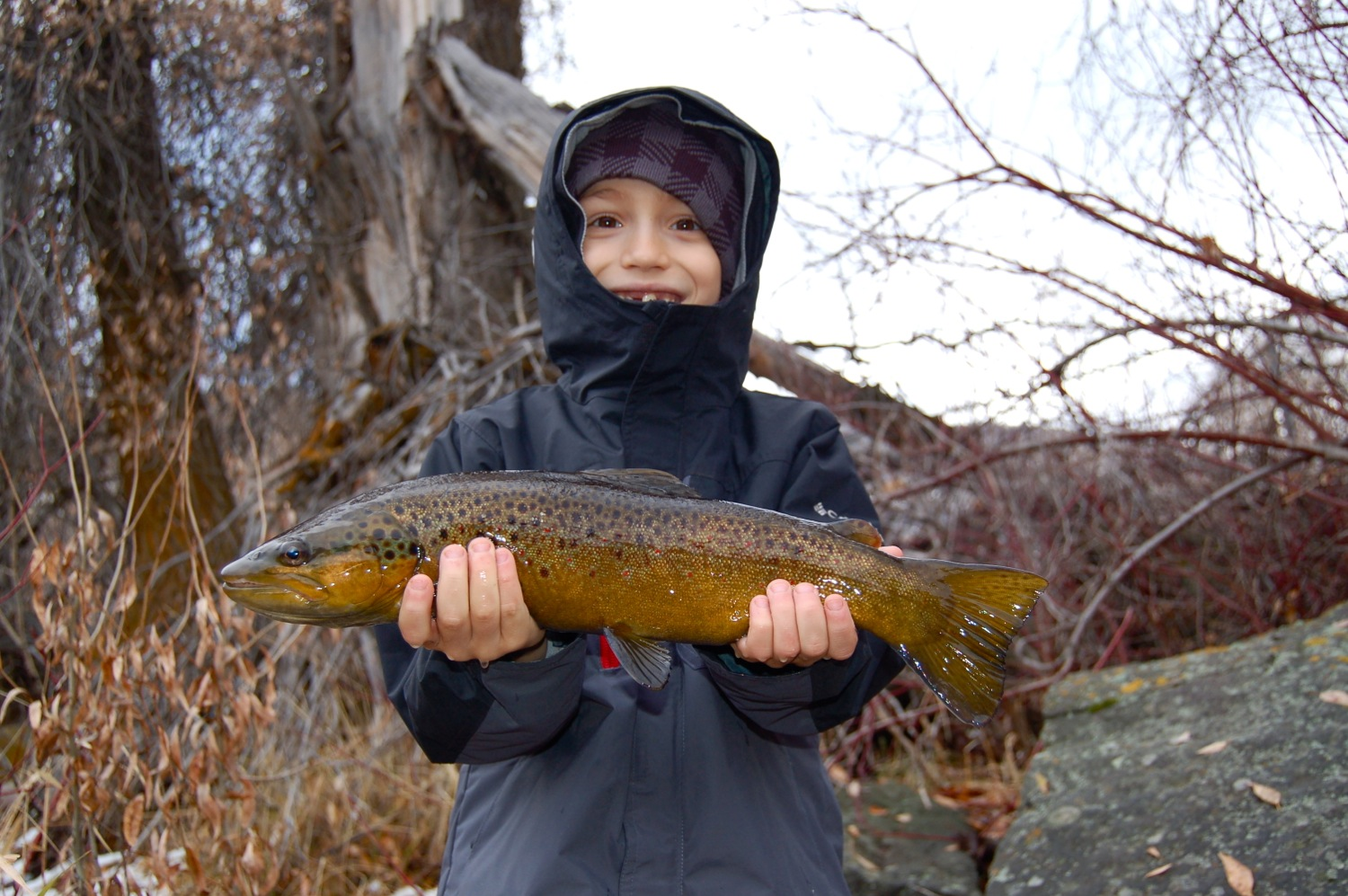 Nice brown trout caught on the middle Provo River, Utah