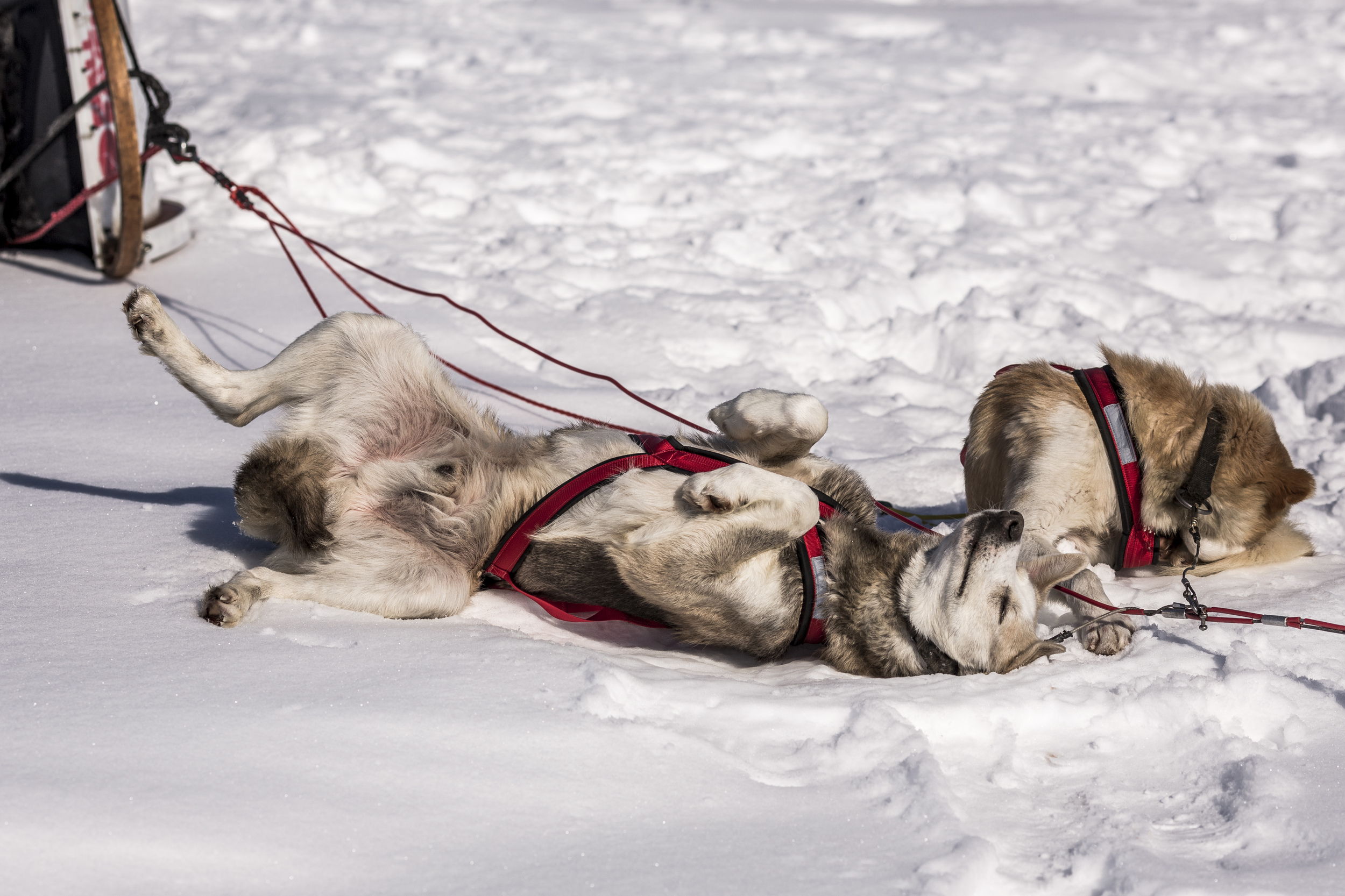 After a long morning of running, the dogs are ready for a midday nap at the Påltsa checkpoint. (Photo by Håkan Wike for Fjällräven International. All rights reserved.)