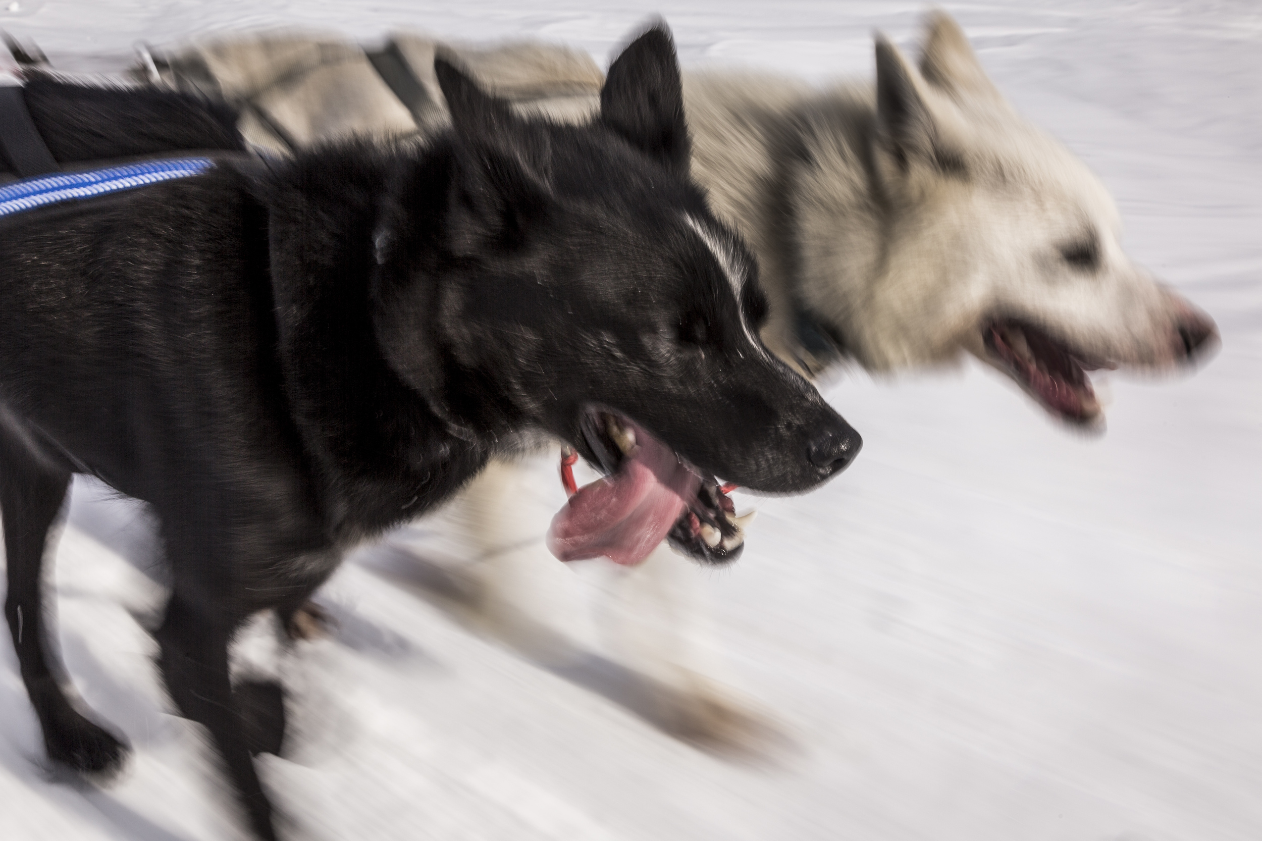 My dog team has seemingly endless reserves of energy. Even on uphills, I keep one foot lightly on the soft brake to avoid careening into the sled ahead of me. (Photo by Håkan Wike for Fjällräven International. All rights reserved.)