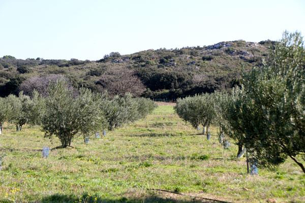 olives_1750.jpg