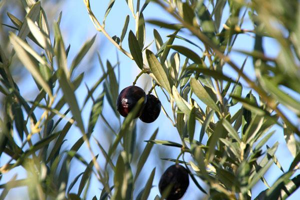 olives_1820.jpg