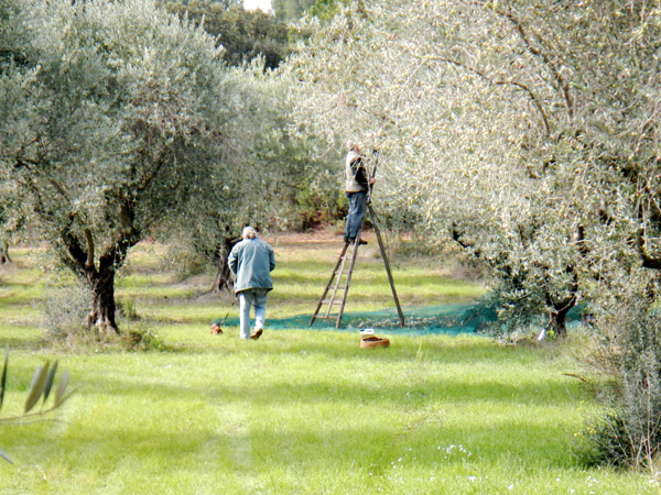 Picking-olives.jpg