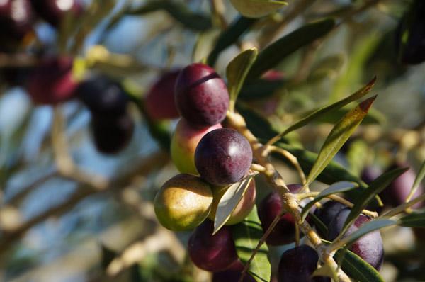 our-olives.jpg