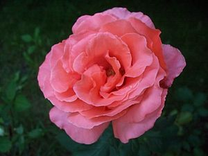 300px-Closeup_of_a_pink_rose_in_full_bloom..JPG