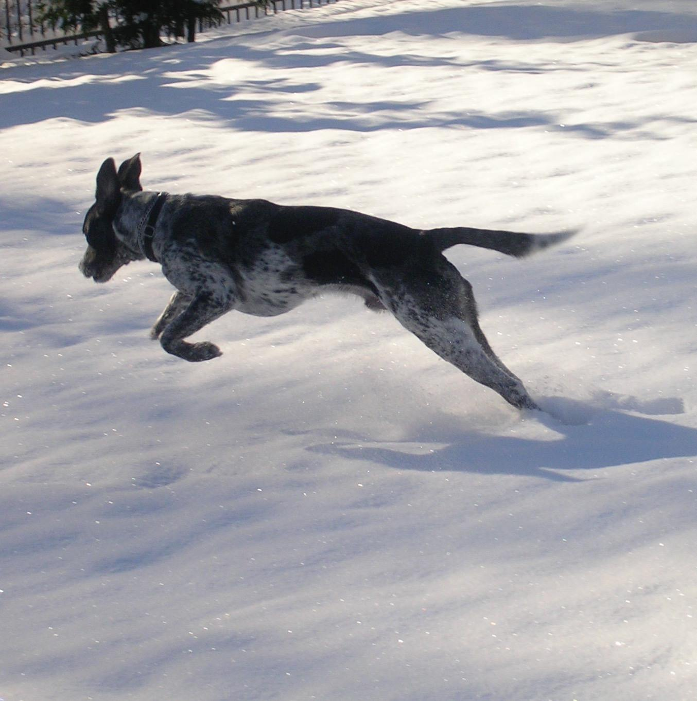 For a dog that loved the heat as much as Buddy, he certainly had fun in the snow :)